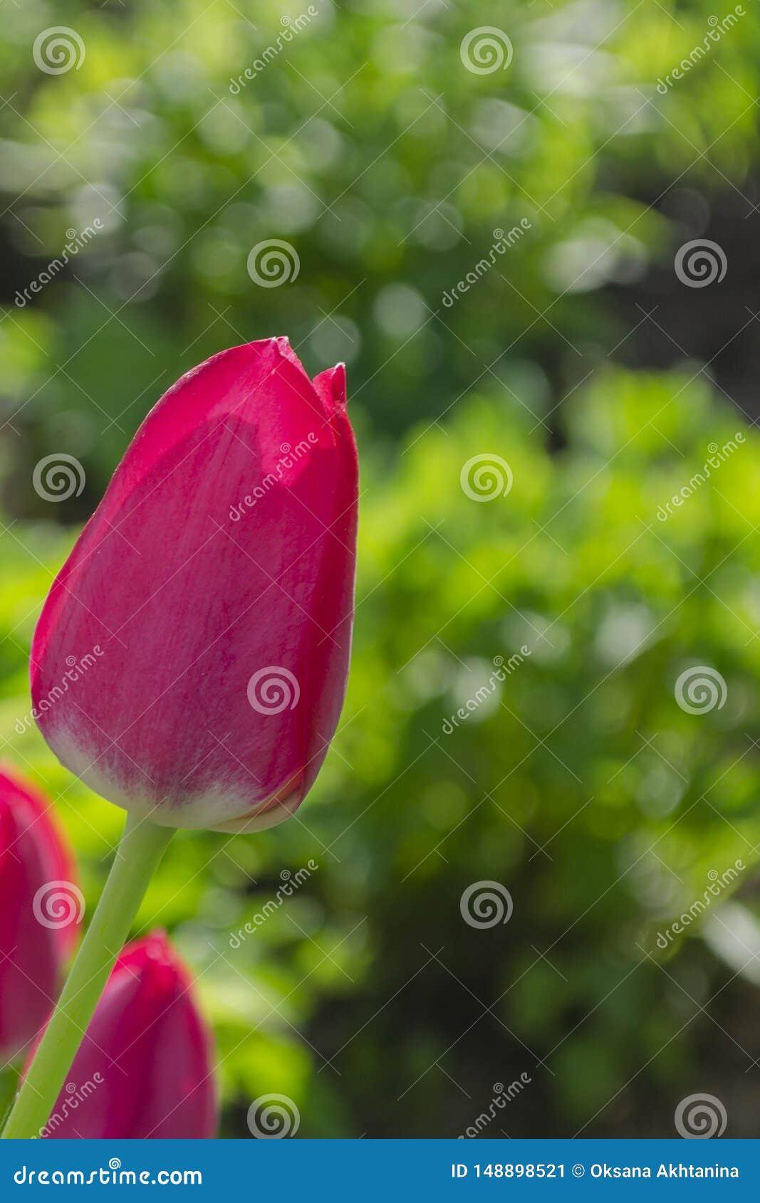 Изумляя взгляд красочного розового тюльпана цветя в ландшафте сада и зеленой травы