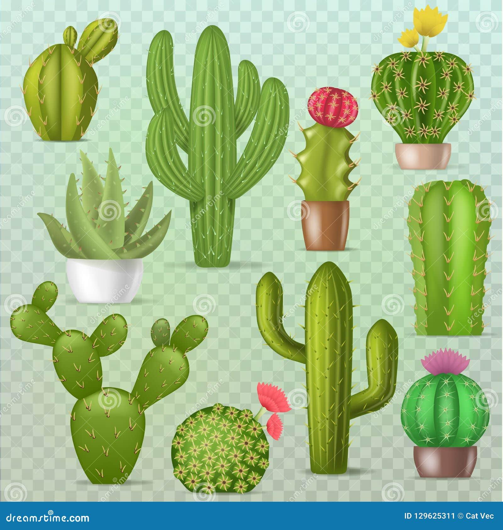 Иллюстрации ботаники завода кактусов вектора кактуса набор ботанической зеленой cactaceous суккулентной флористический реалистиче