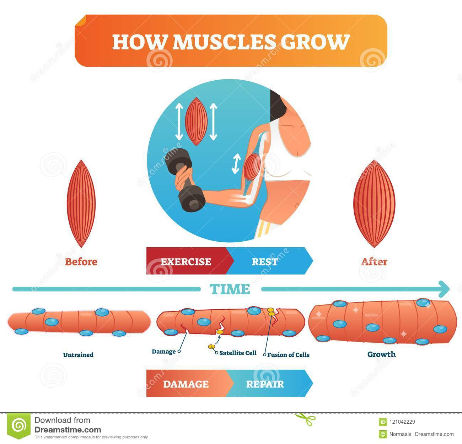 Иллюстрация вектора о как мышцы растут Медицинские воспитательные диаграмма и схема с спутниковыми клеткой и сплавливанием клеток