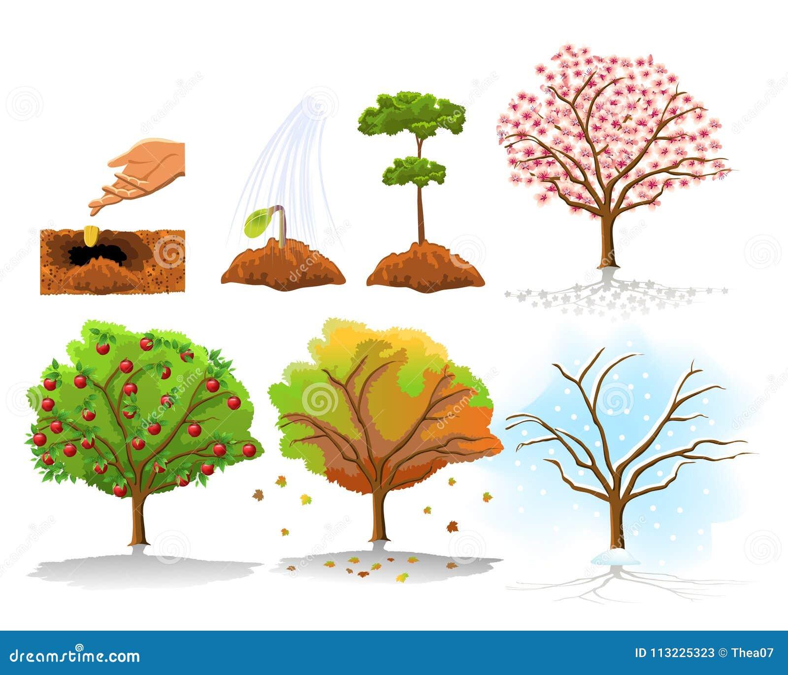 Иллюстрация засаживать яблони и растущие этапов в 4 сезонах ...