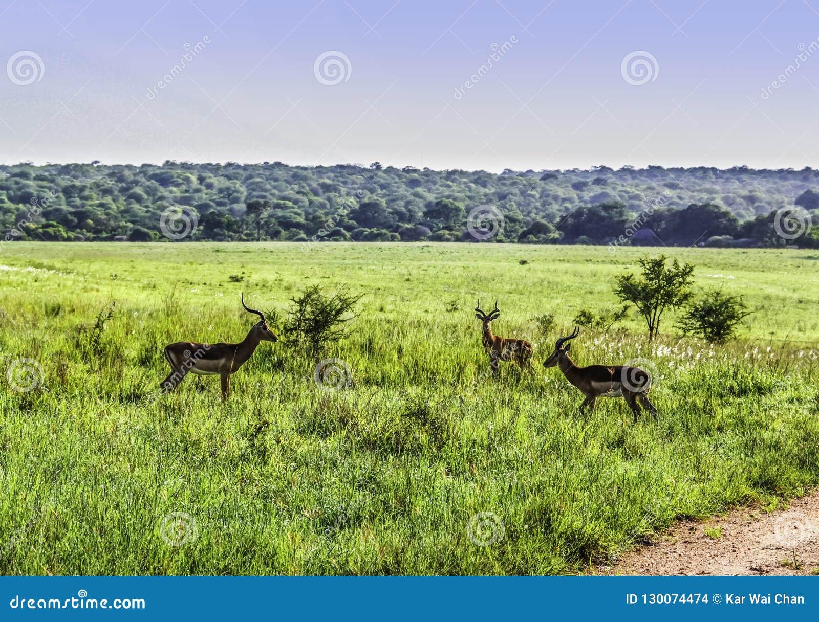 3 импалы холостяка смотрят на один другого на PA Kruger национальном