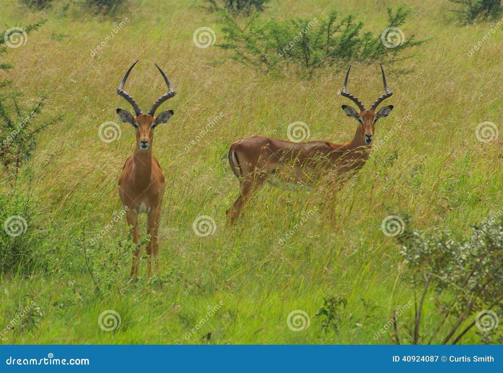 Импалы пася в национальном парке Pilanesberg, Южной Африке