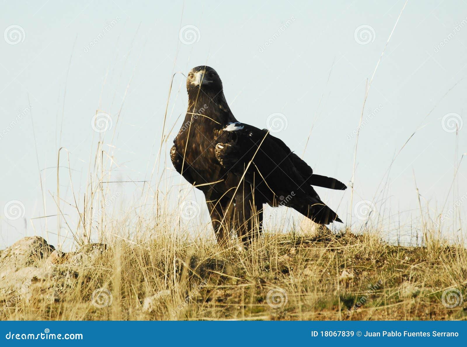 имперское орла иберийское