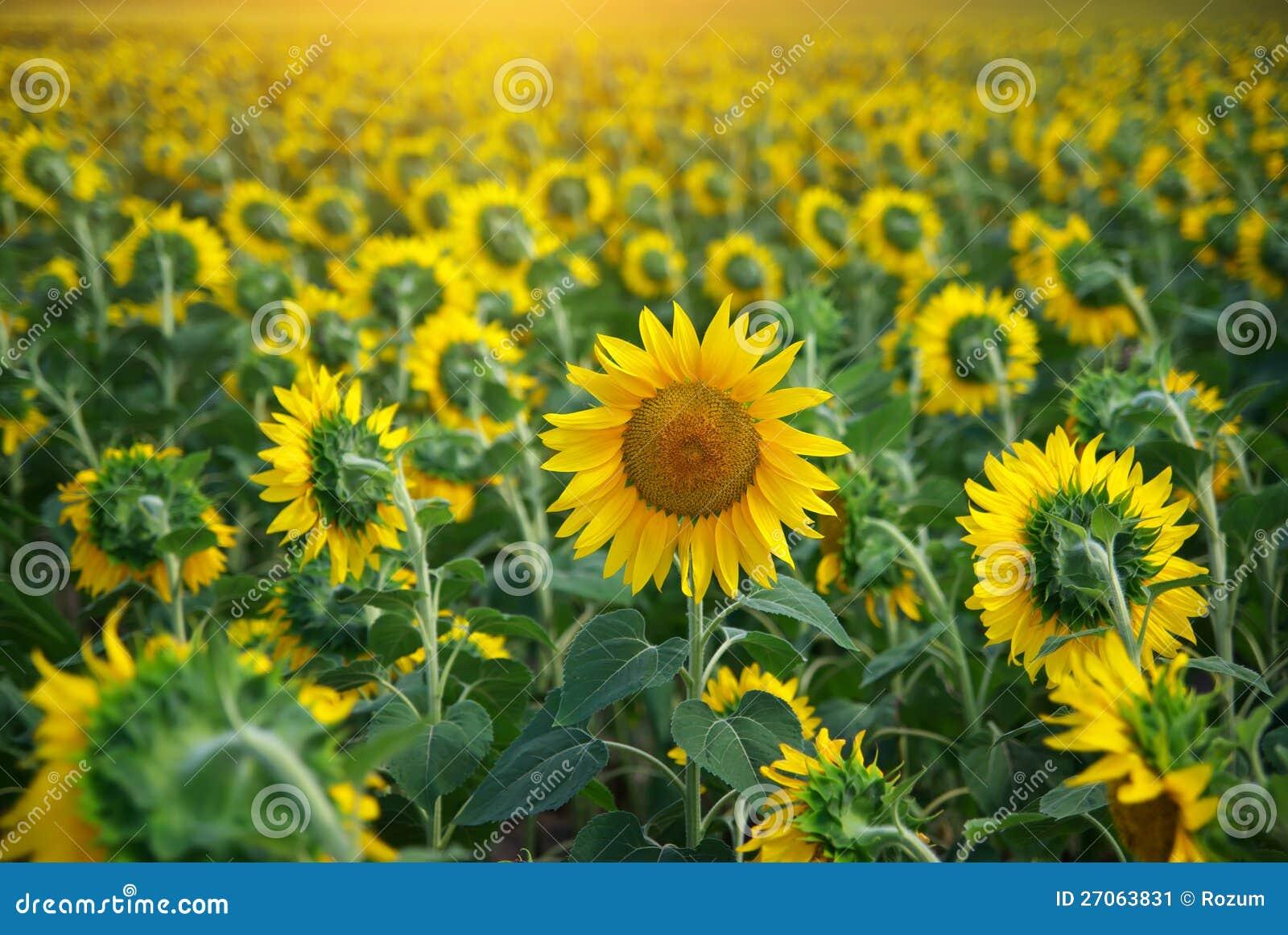 Индивидуальный солнцецвет