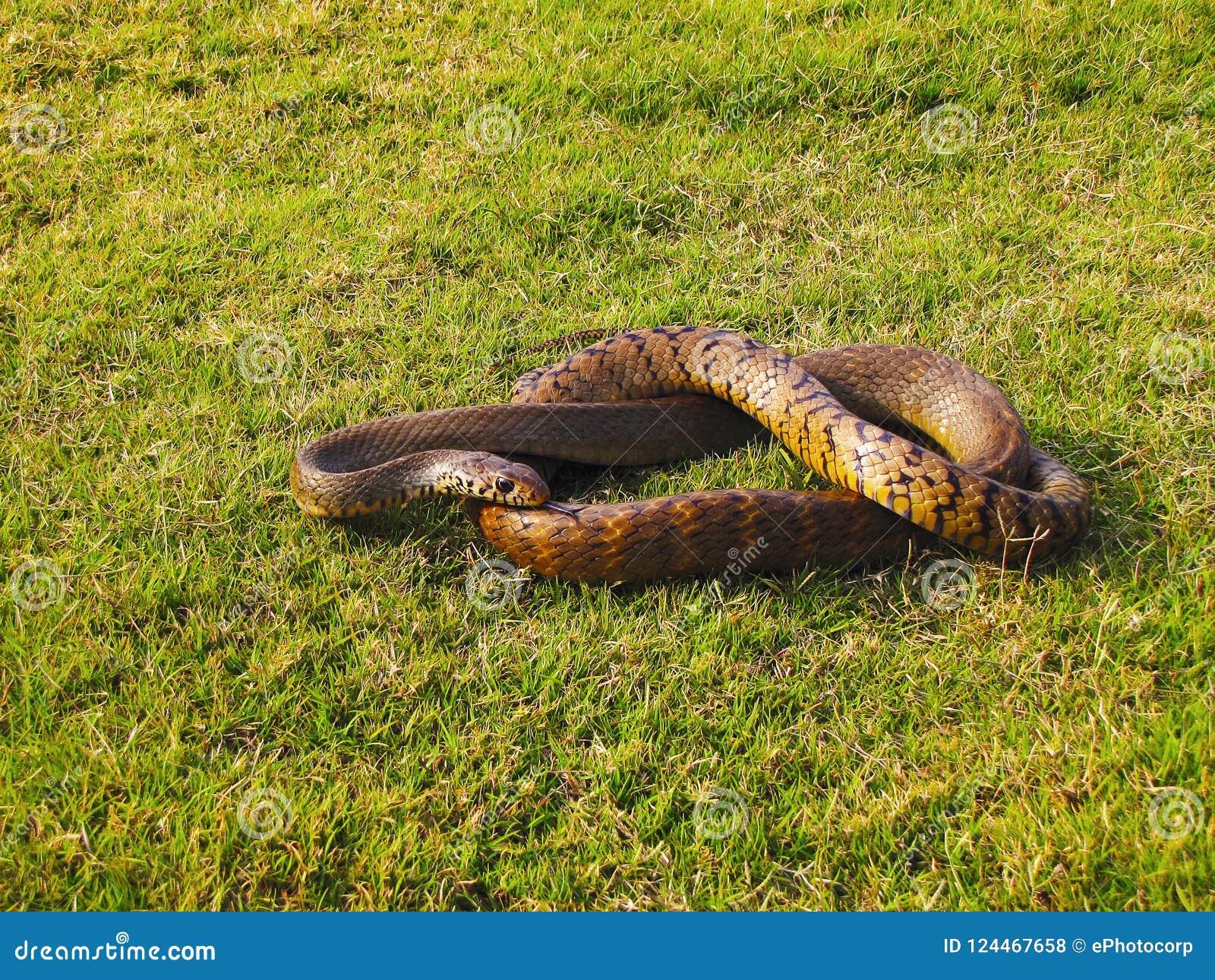 Индийская змейка крысы, mucosa Ptyas Заповедник Bhimashankar, махарастра, Индия