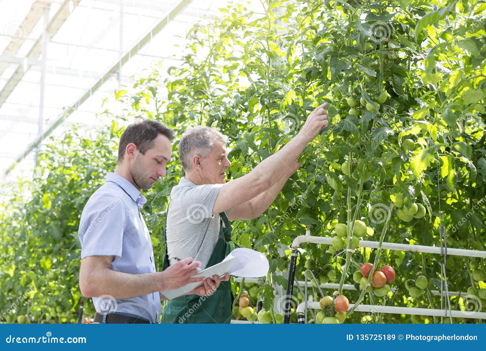 Инспектор делая отчет пока фермер показывая томаты в парнике
