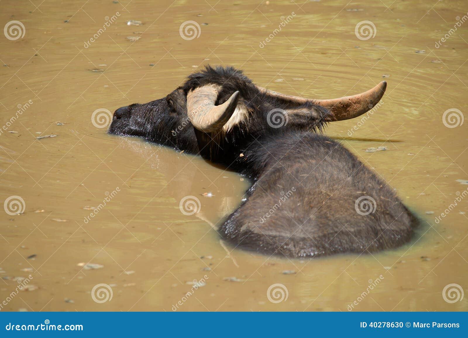 Индийский буйвол в озере