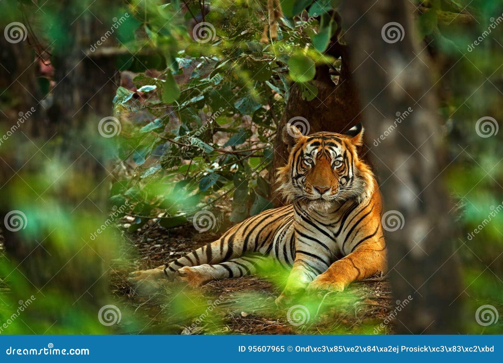 Индийский мужчина тигра с первым дождем, диким животным в среду обитания природы, Ranthambore, Индией Большая кошка, угрожаемое ж