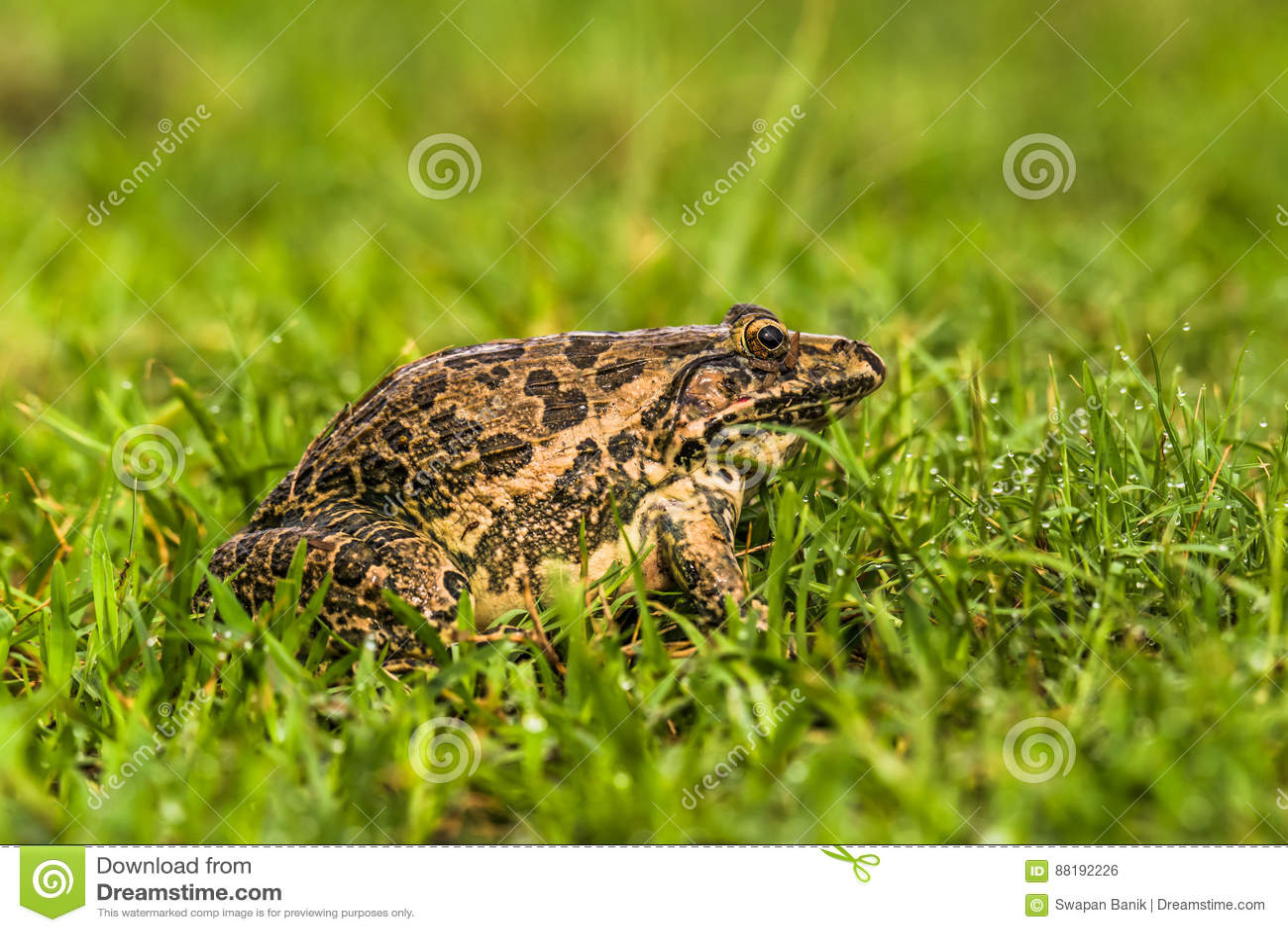 Индийский лягушка-бык