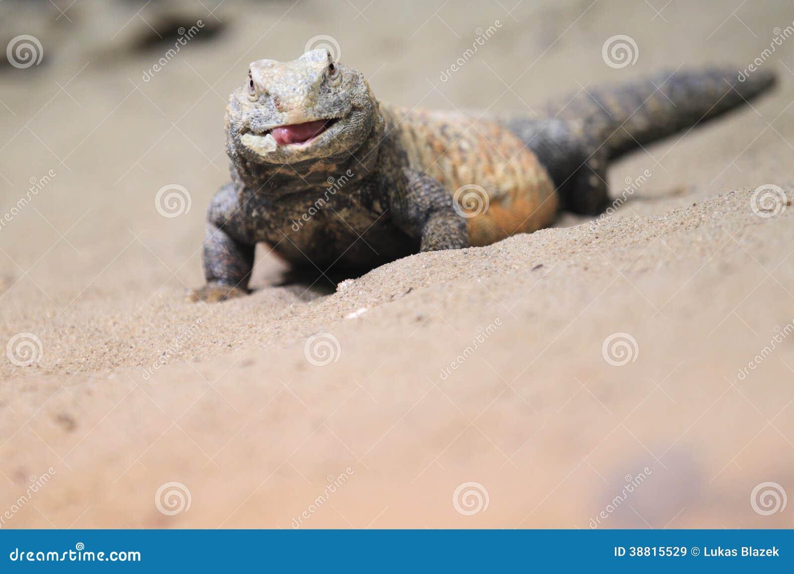 Иракец колючий-замкнуло ящерицу