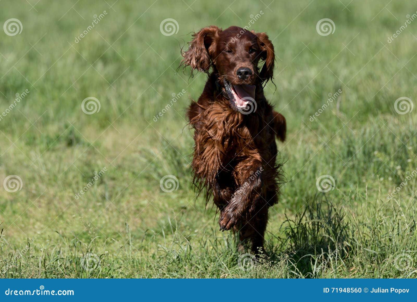 Ирландский сеттер бежать на траве на парке, селективном фокусе на собаке
