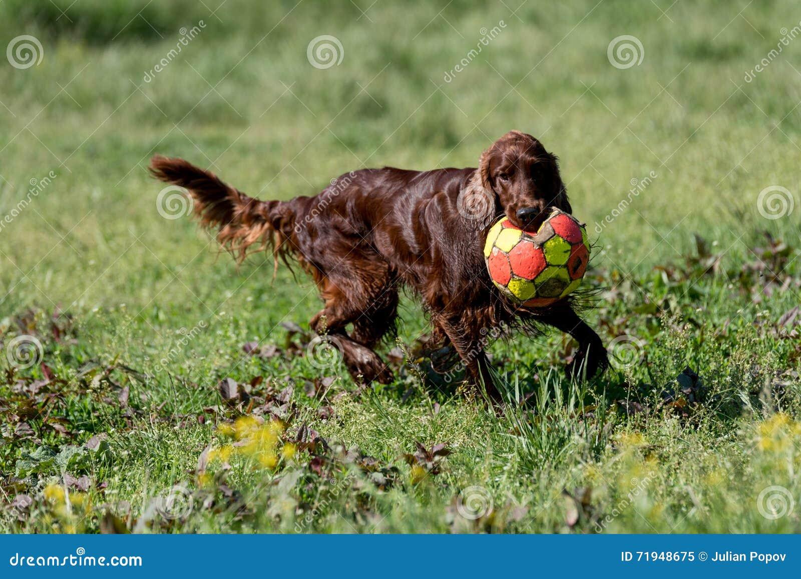 Ирландский сеттер играя с шариком, селективным фокусом на собаке