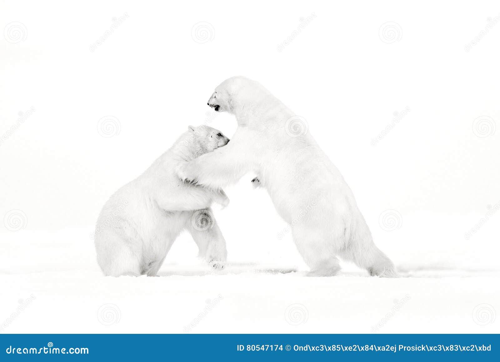 Искусство, черно-белое фото 2 полярных медведей воюя на льде смещения в ледовитом Свальбарде Животный бой в белом снеге Белая жив