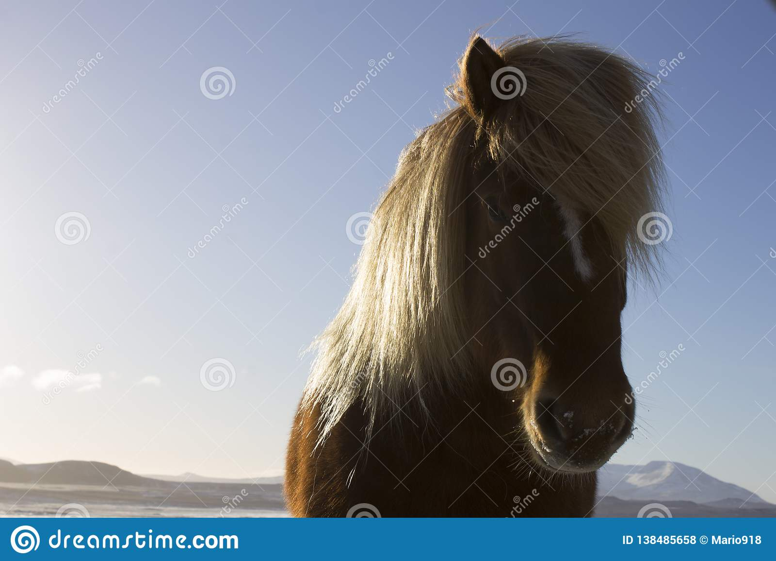 Исландская лошадь на солнечный день