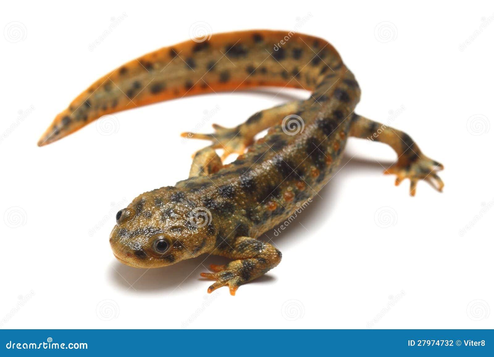 Испанский пошущенный над newt (waltl Pleurodeles)