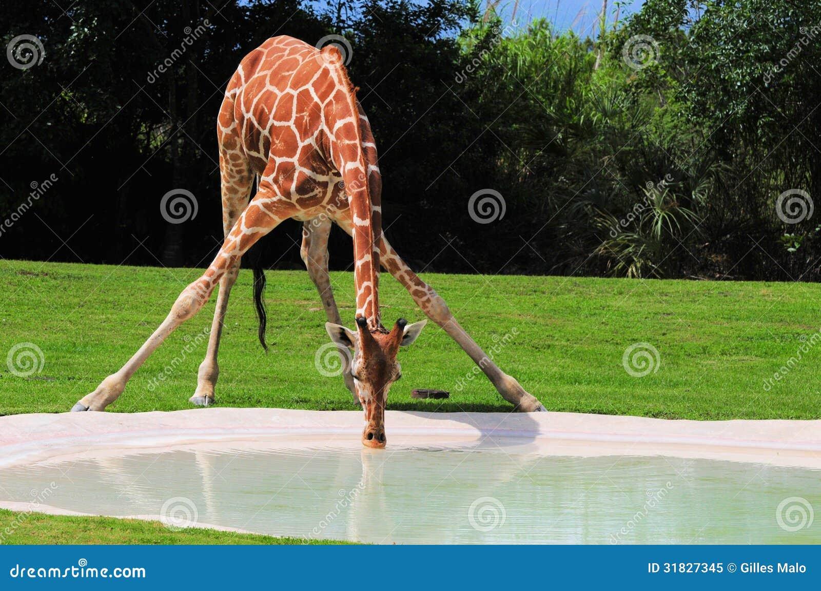 Испытывающий жажду сетчатый выпивать жирафа
