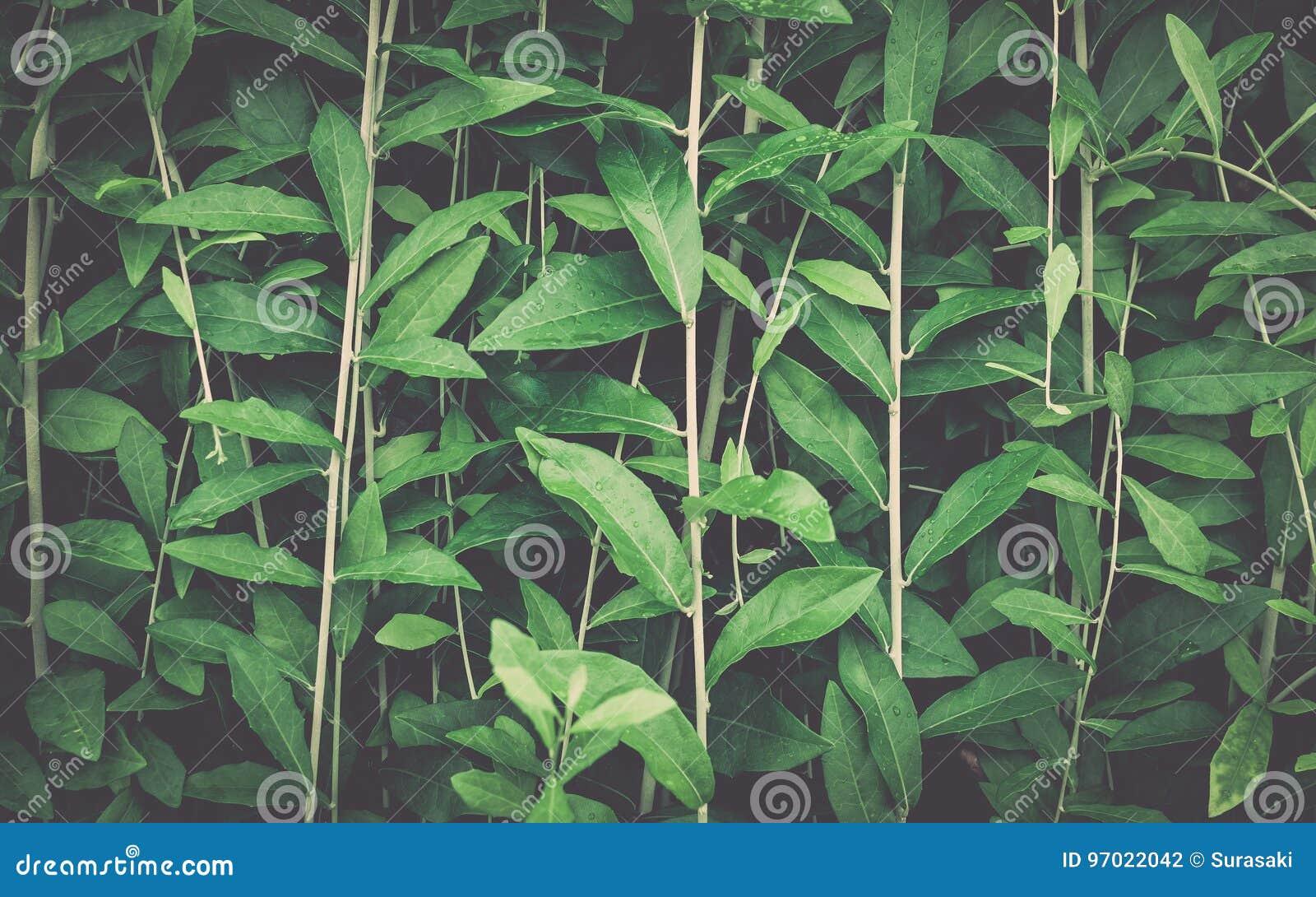 листья зеленого цвета предпосылки акации