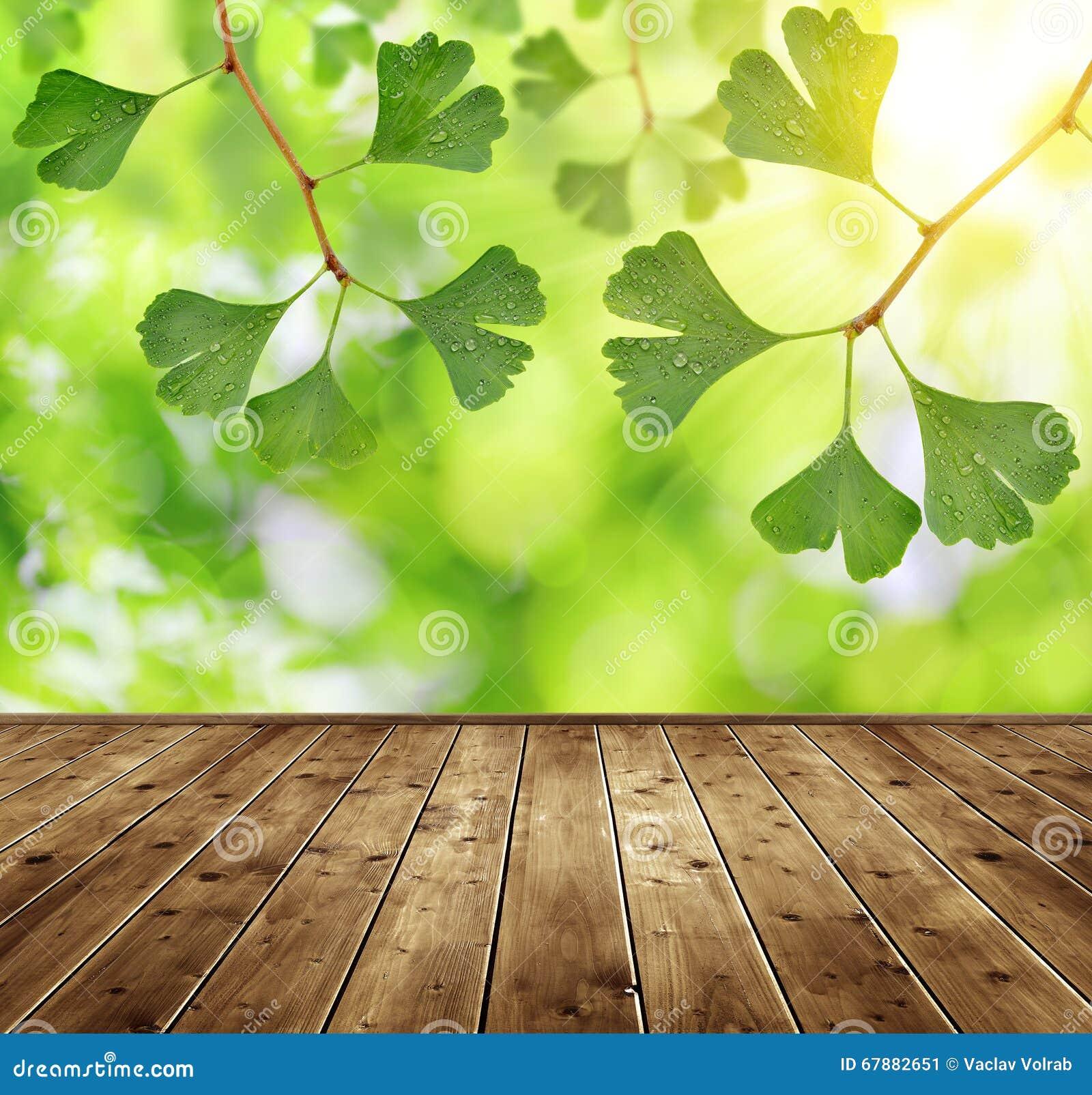 листья ginkgo фокуса biloba выходят отмелыми