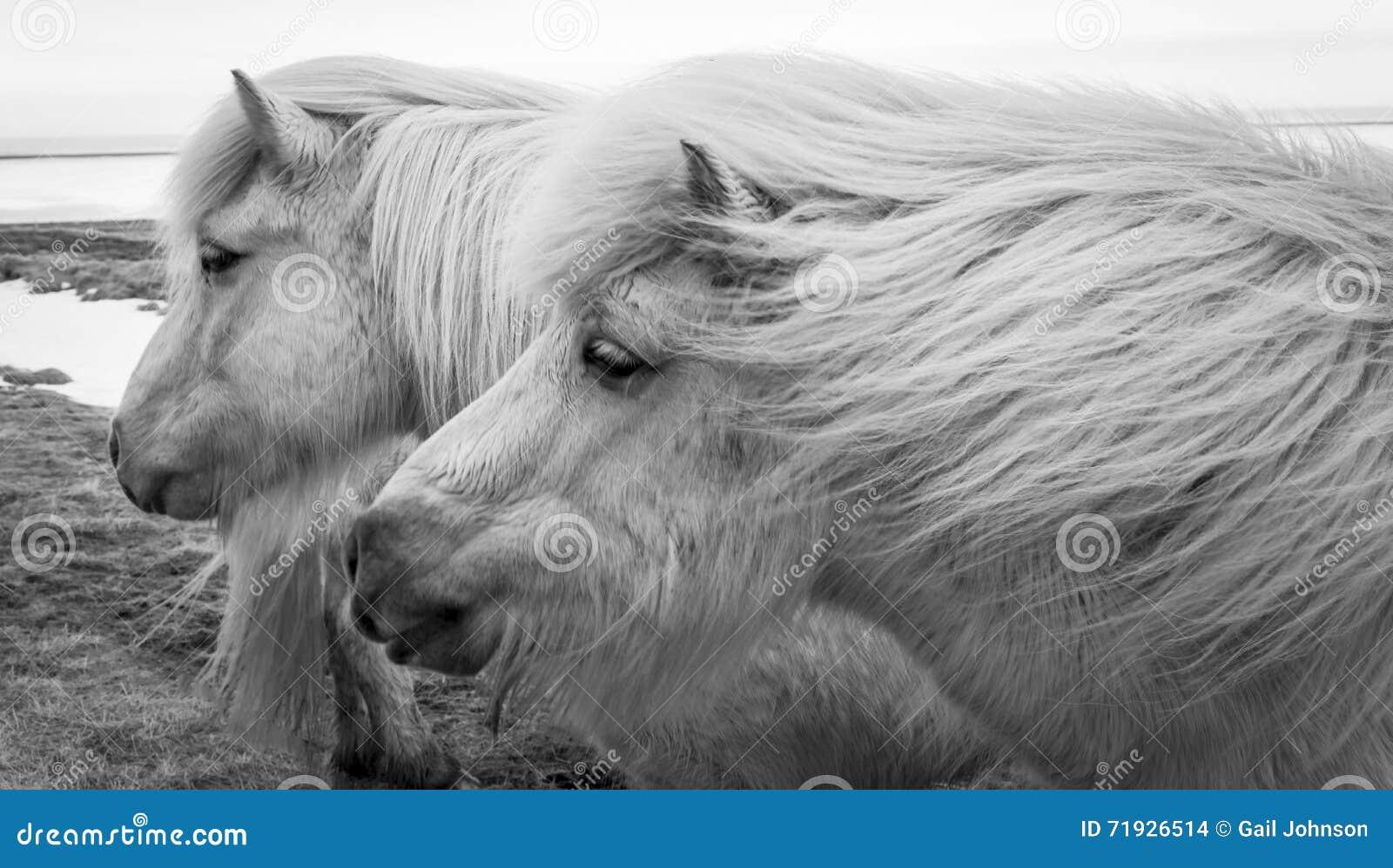 Исландские пони b & w