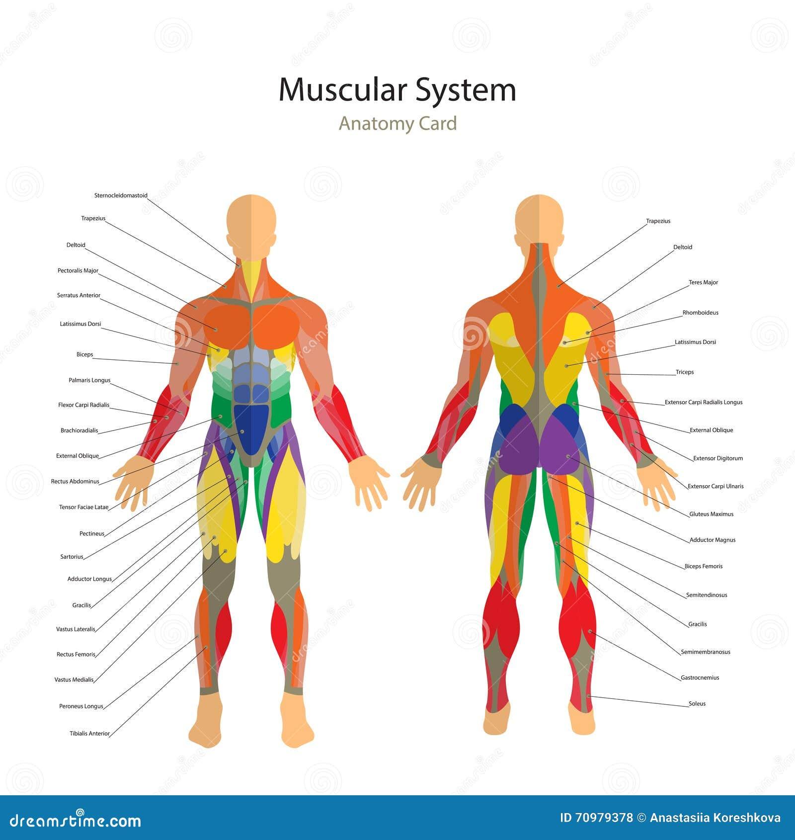 Иллюстрация человеческих мышц Тренировка и гид мышцы Тренировка спортзала Спереди и сзади взгляд Анатомия человека мышцы