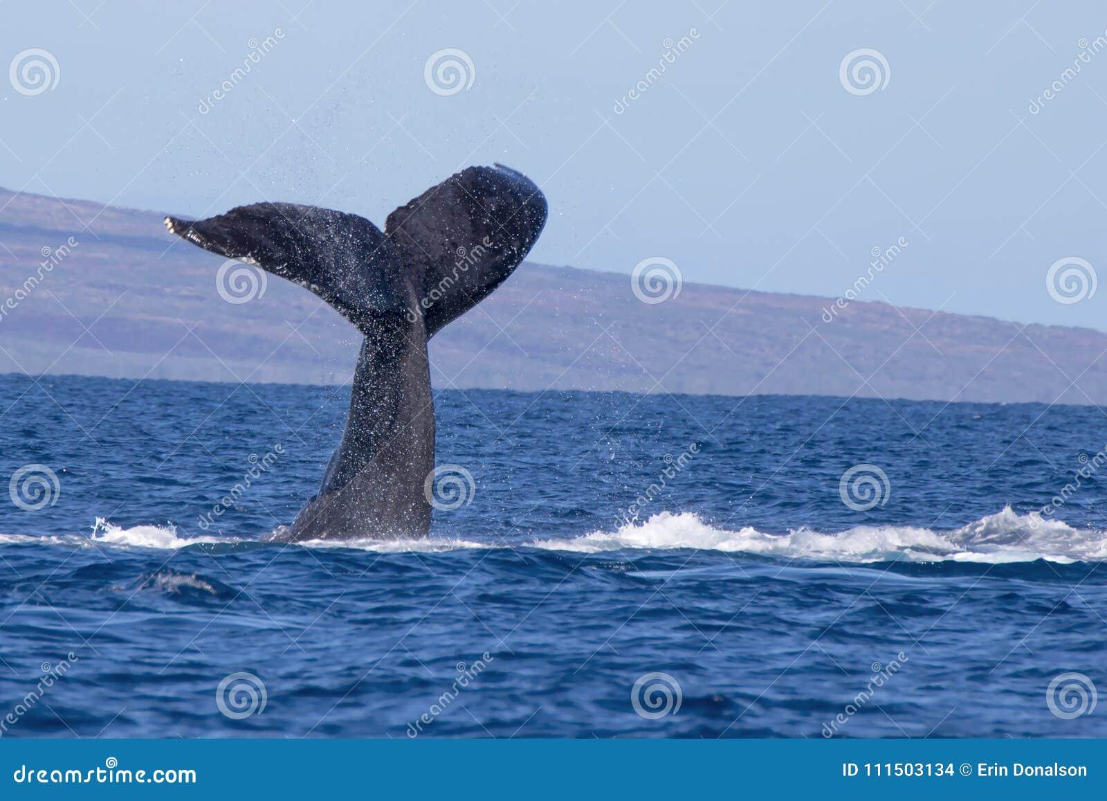 Кабель горбатого кита в Seascape океана Гаваи
