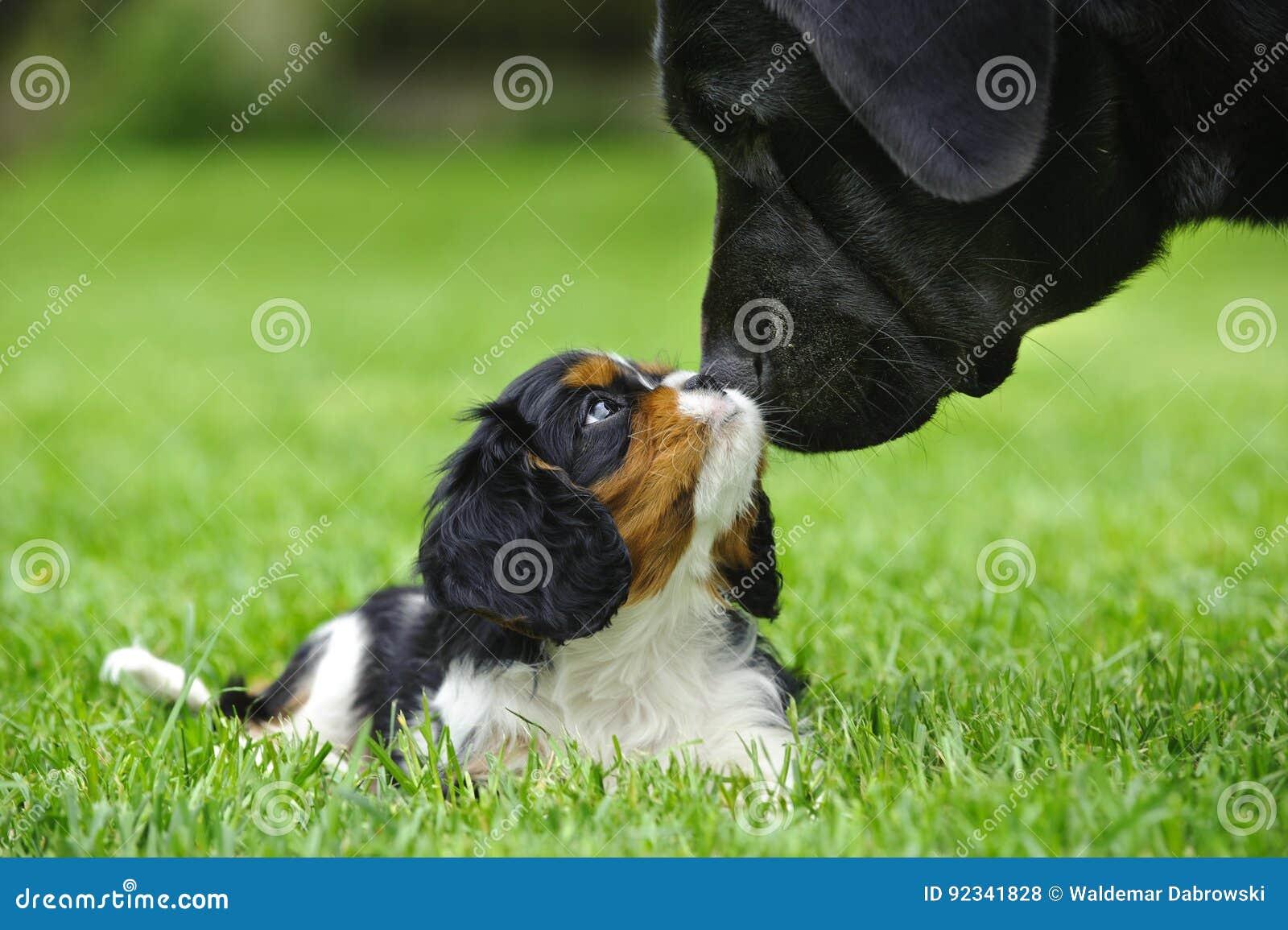 Кавалерийский щенок spaniel короля Чарльза с лабораторией