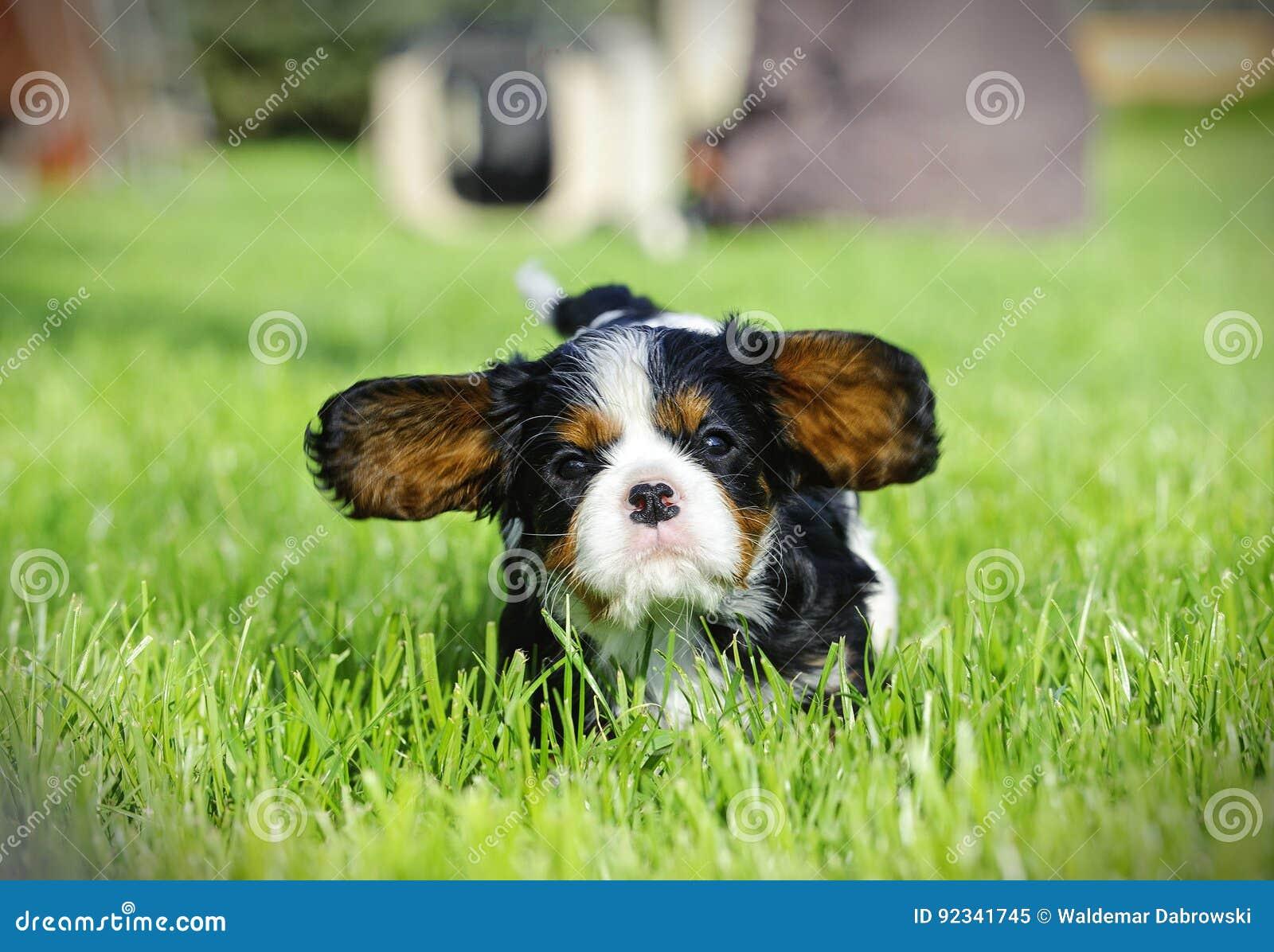 кавалерийский spaniel щенка короля charles