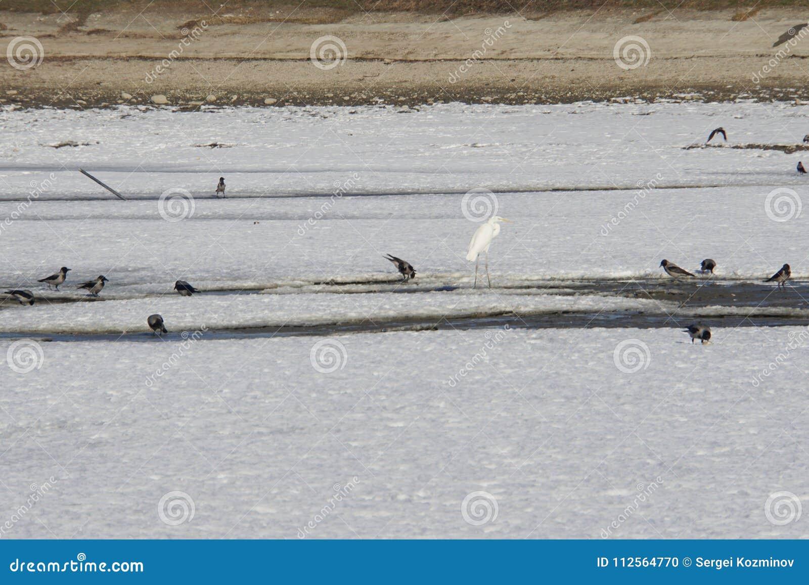 Кавказская цапля и стадо ворон подавая совместно на одичалом