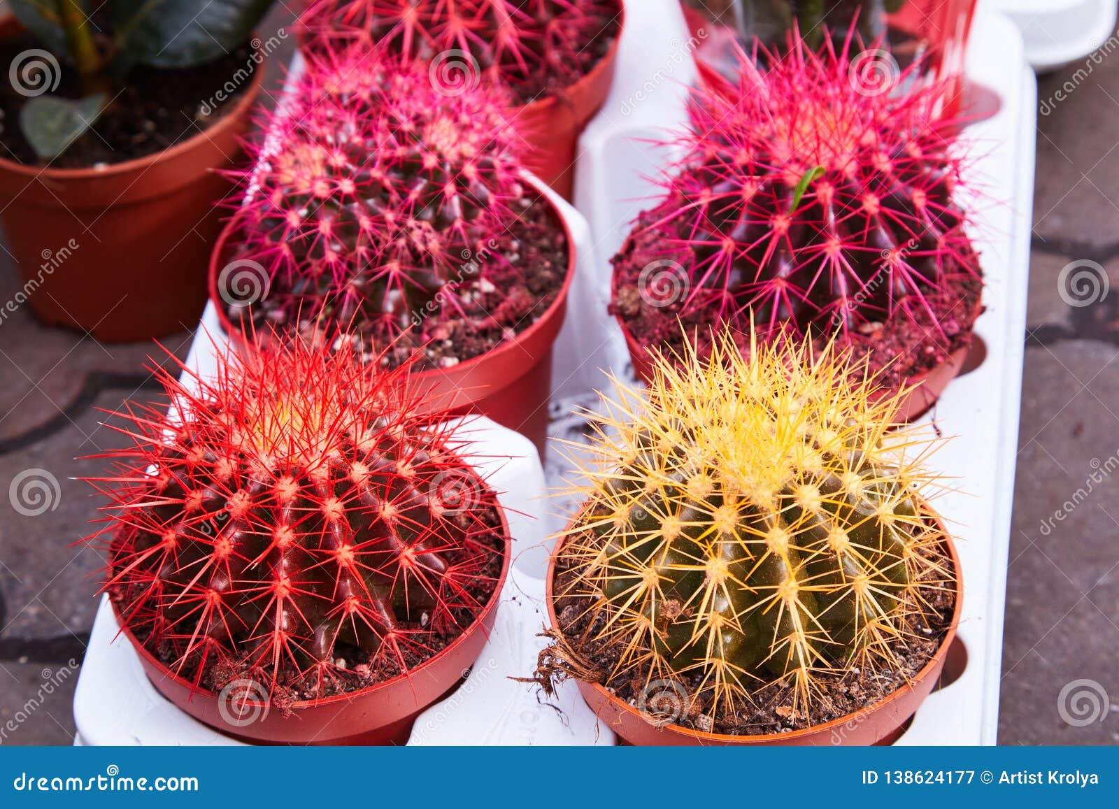 Кактус золотого бочонка, завод Echinocactus Grusonii
