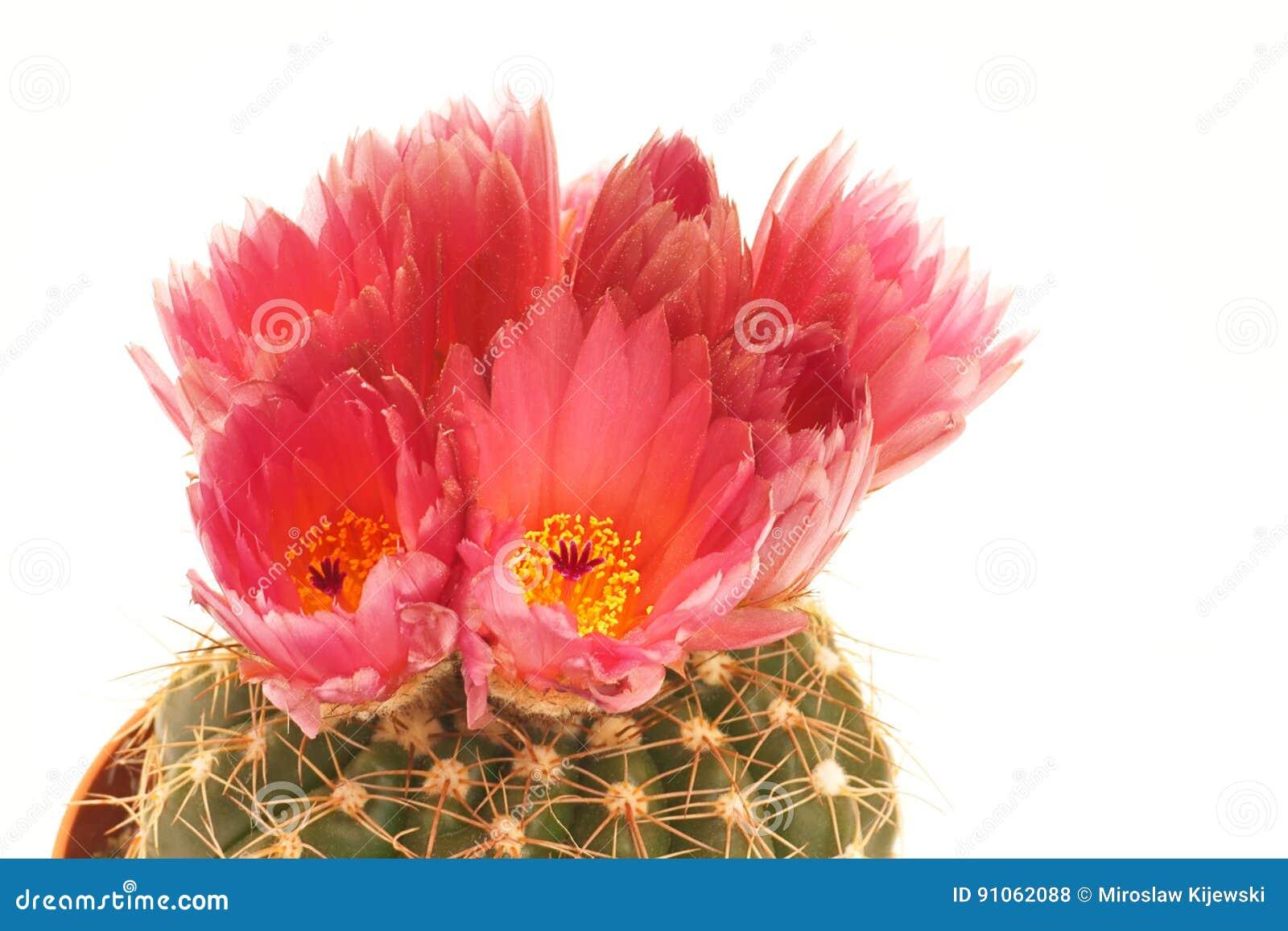 Все кактусы с красными цветками