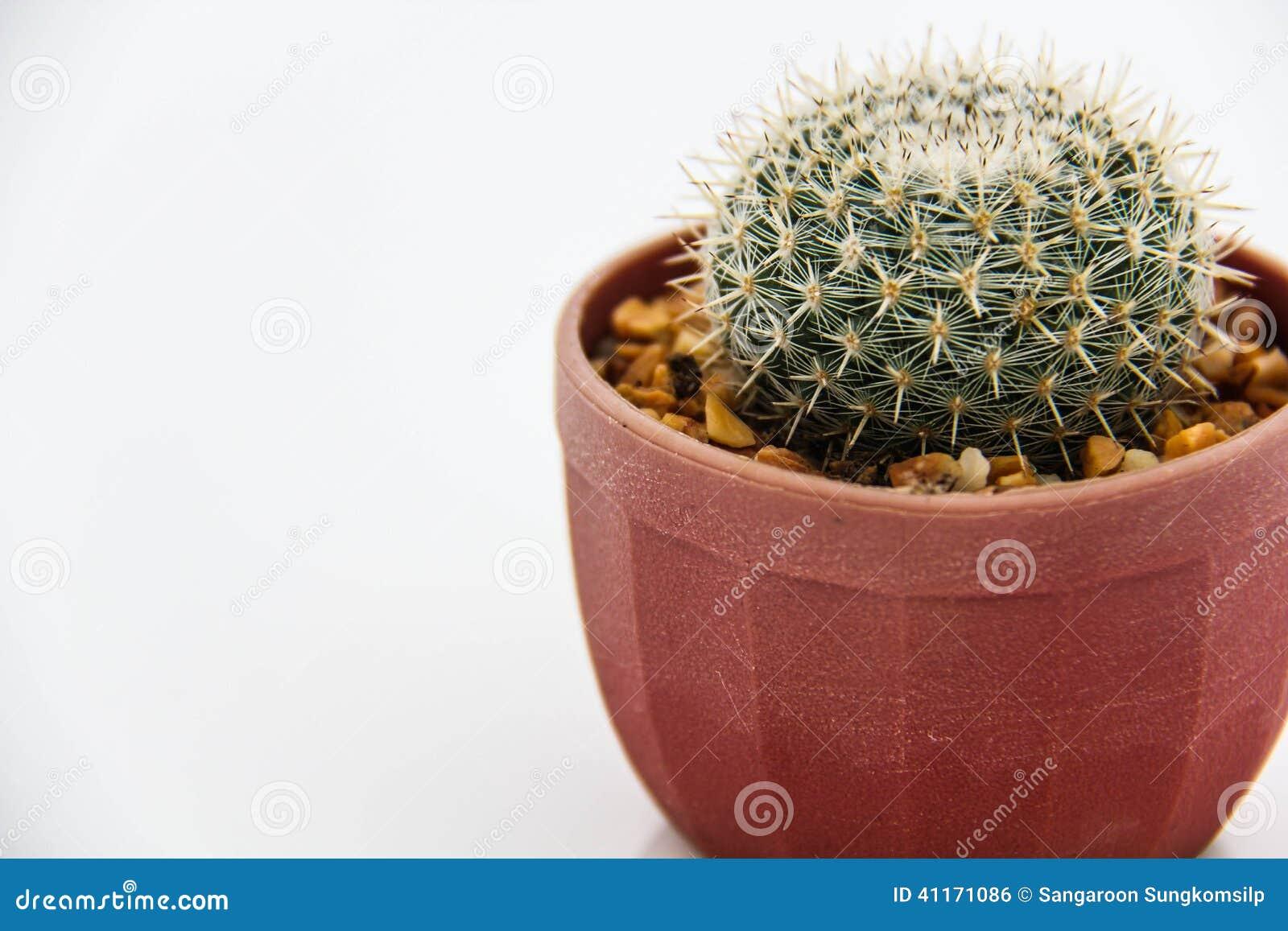 Кактус Echinocactus