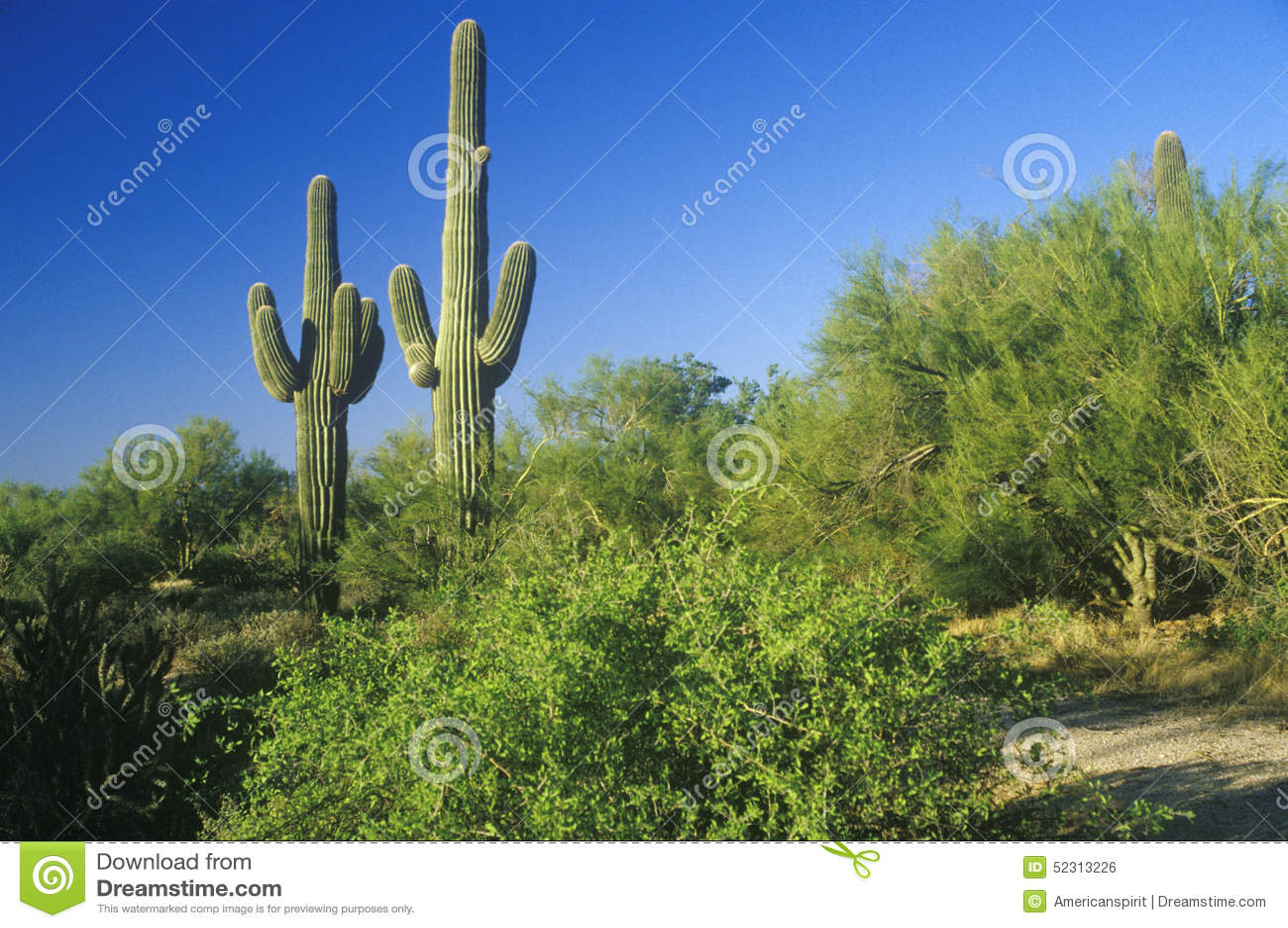 Кактус Saguaro в пустыне Sonoma, Scottsdale, AZ