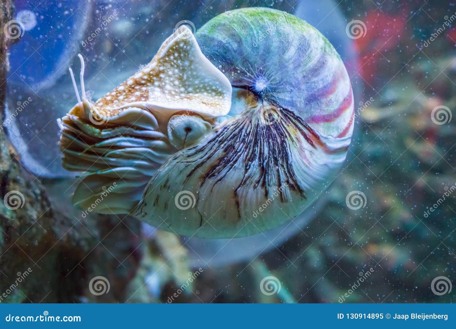 Кальмар Nautilus морское животное редкой и красивой живущей раковины ископаемое подводное