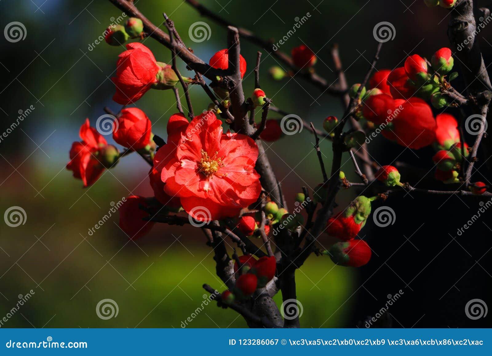 Камелия цветет полностью цветене