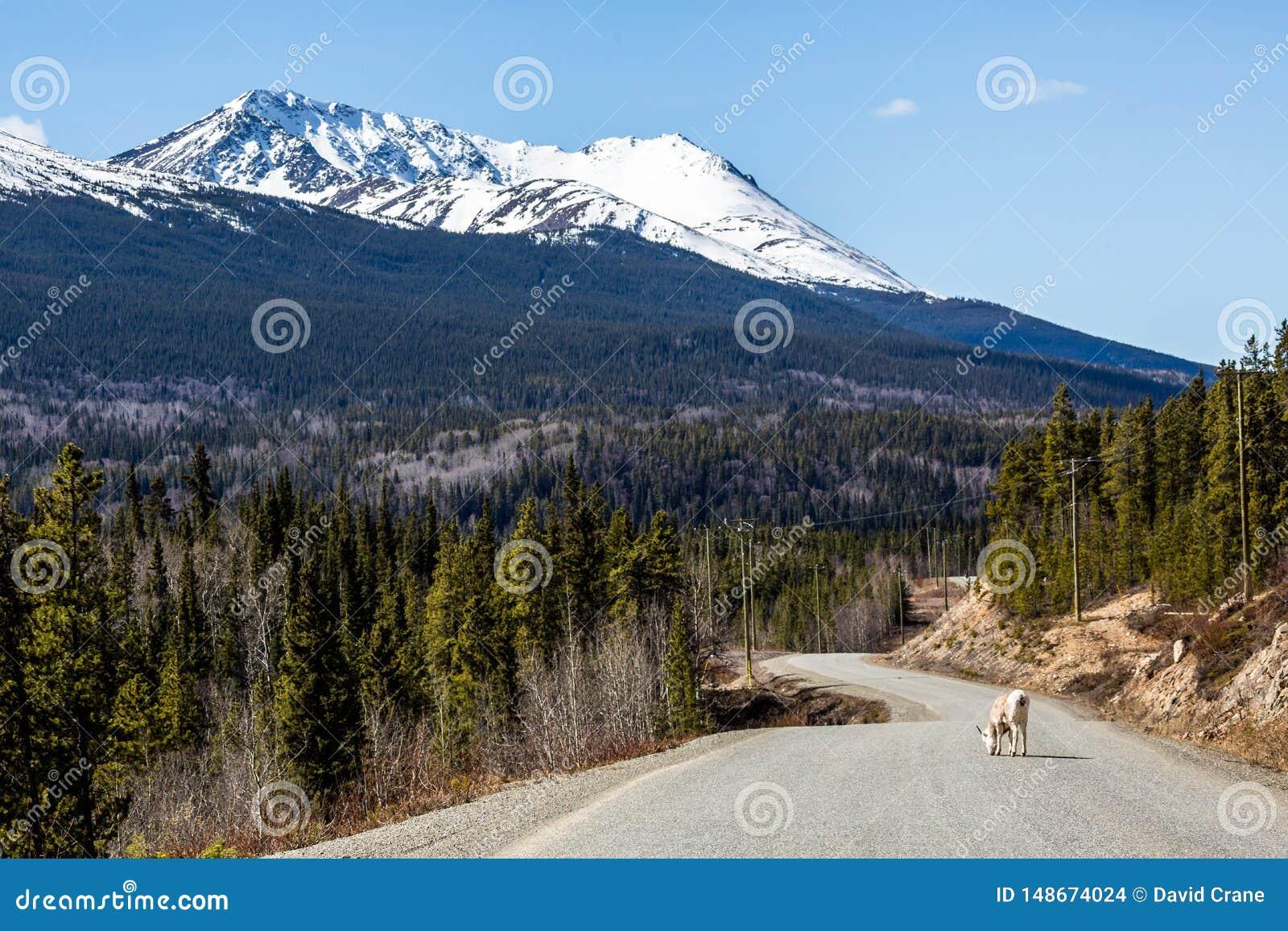Каменная овца овец лижа соль от дороги Cassiar вымощенной шоссе