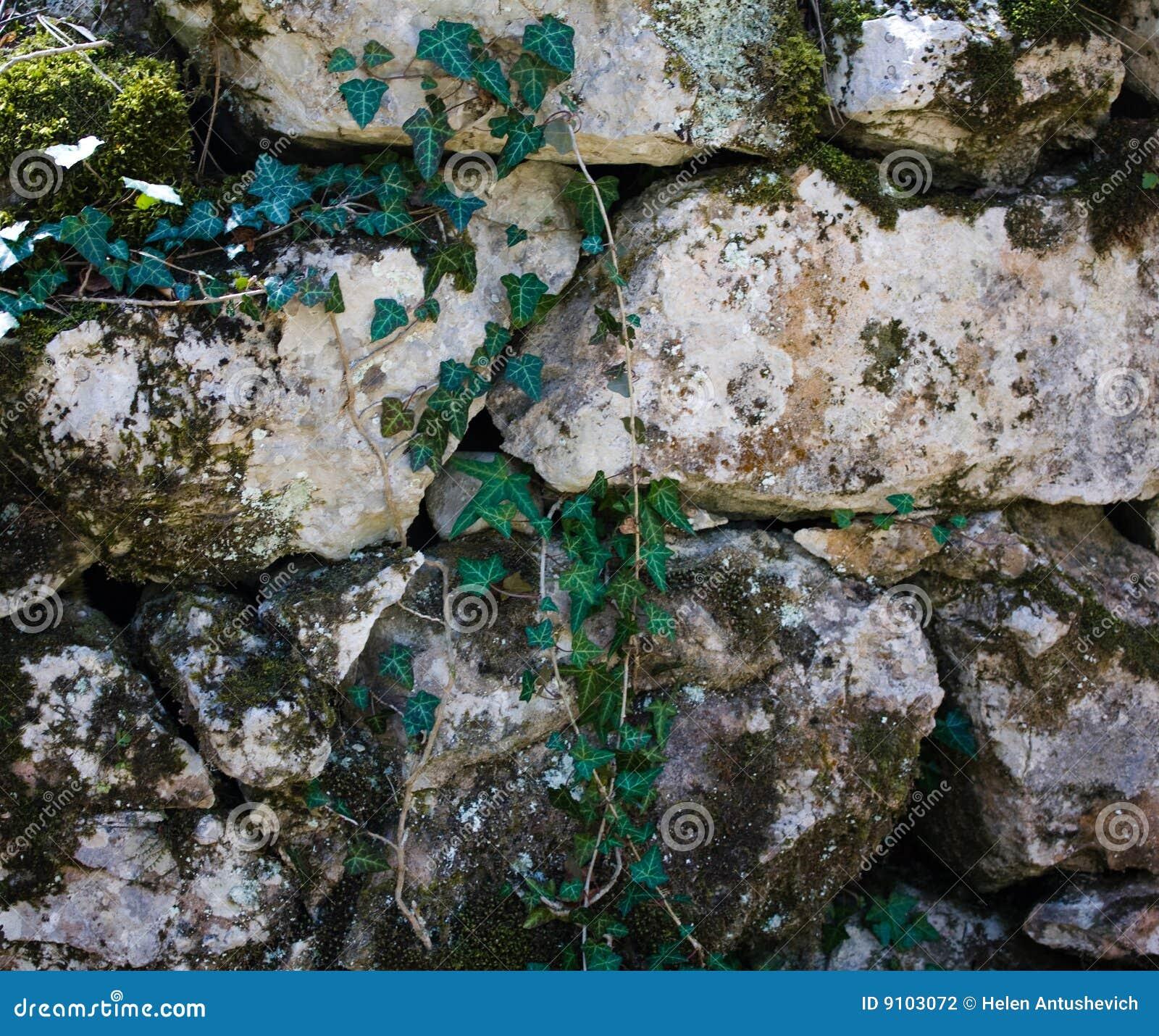 плющ на камнях картинки