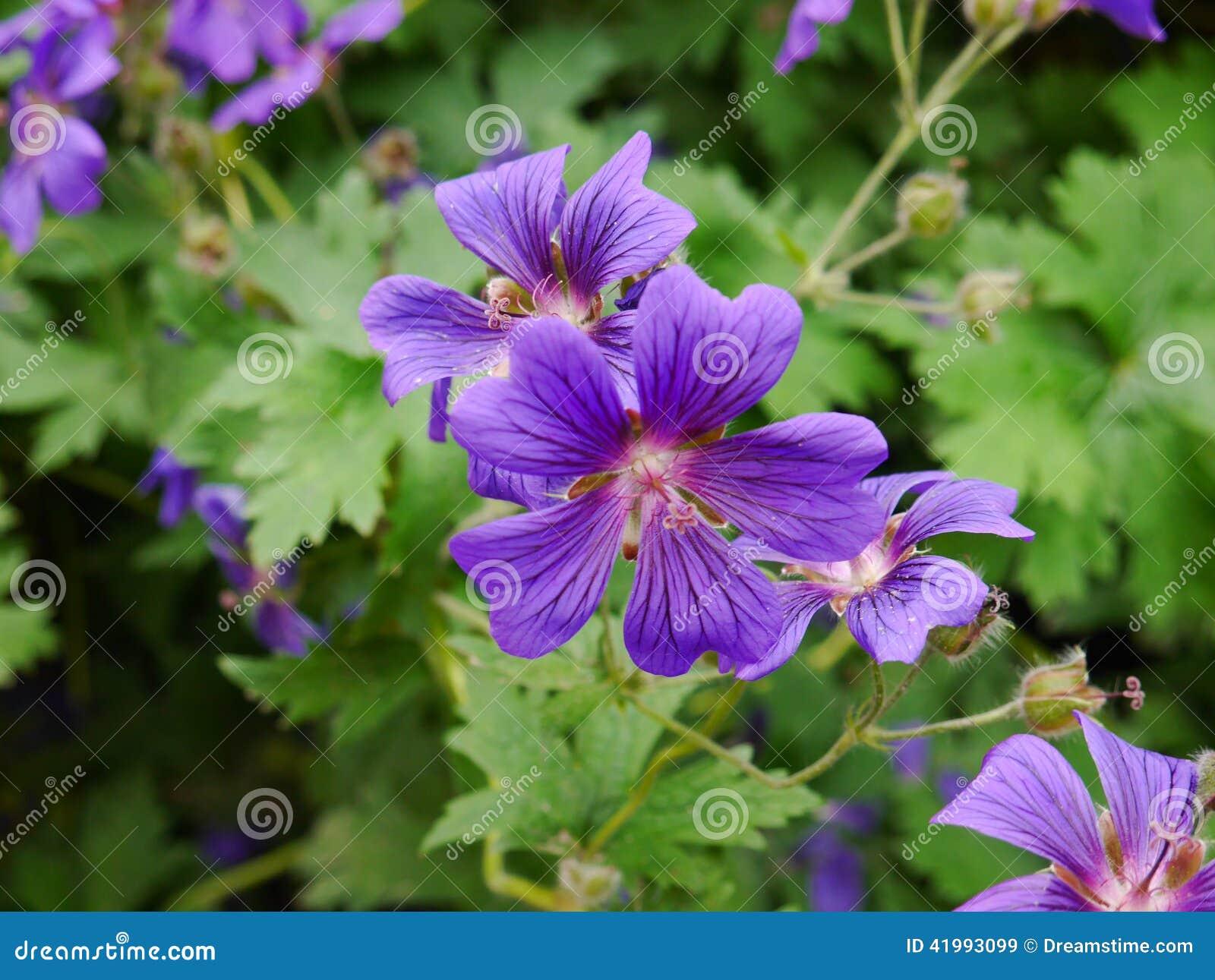 Канадский фиолет