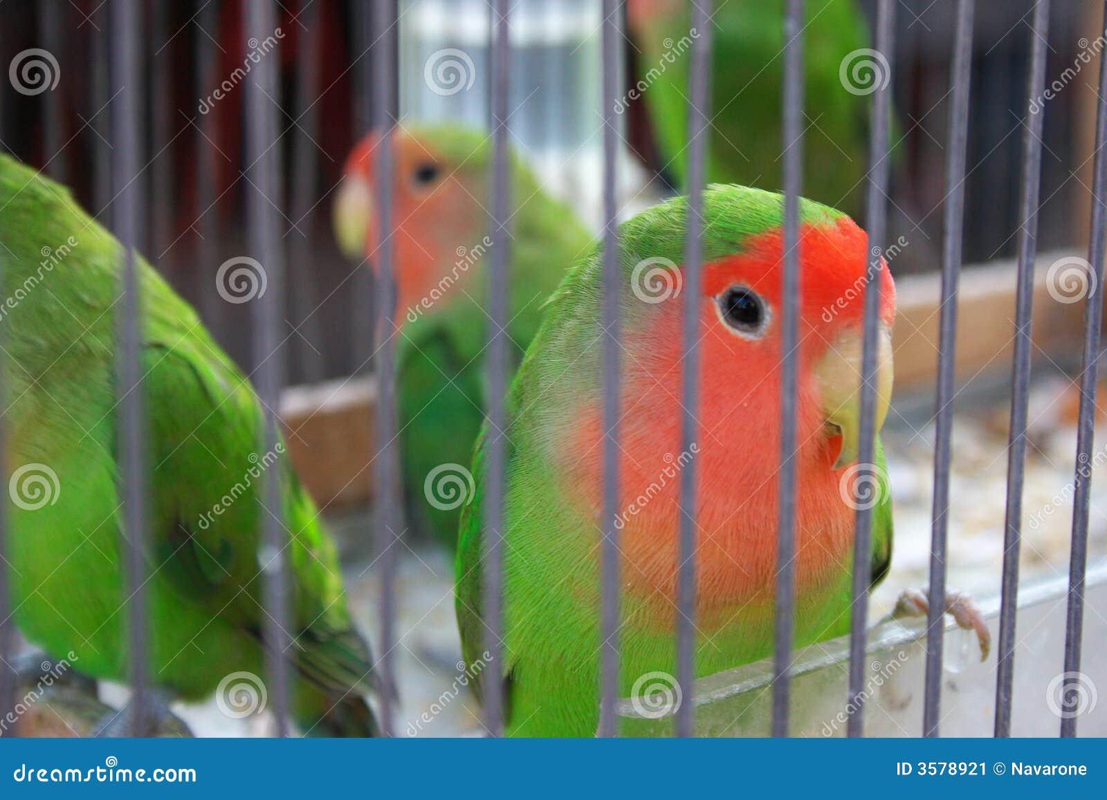 канерейка клетки птиц