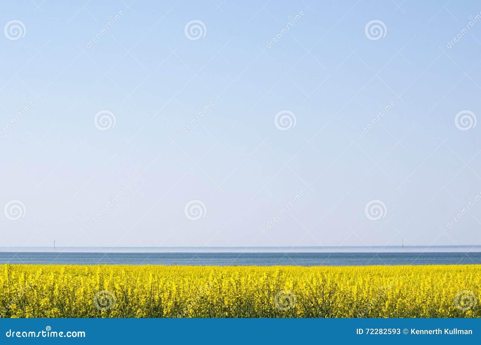 Download Канола поле побережьем стоковое изображение. изображение насчитывающей море - 72282593