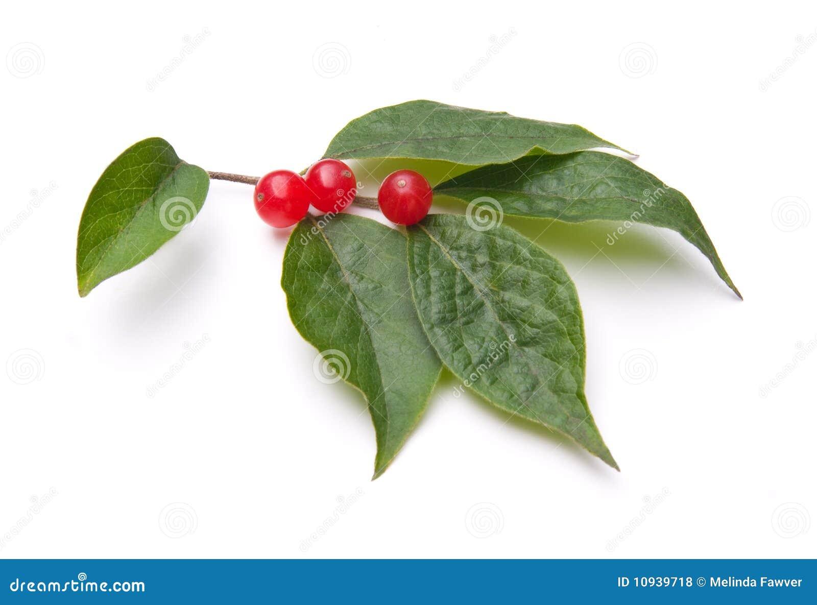 каприфолий bush