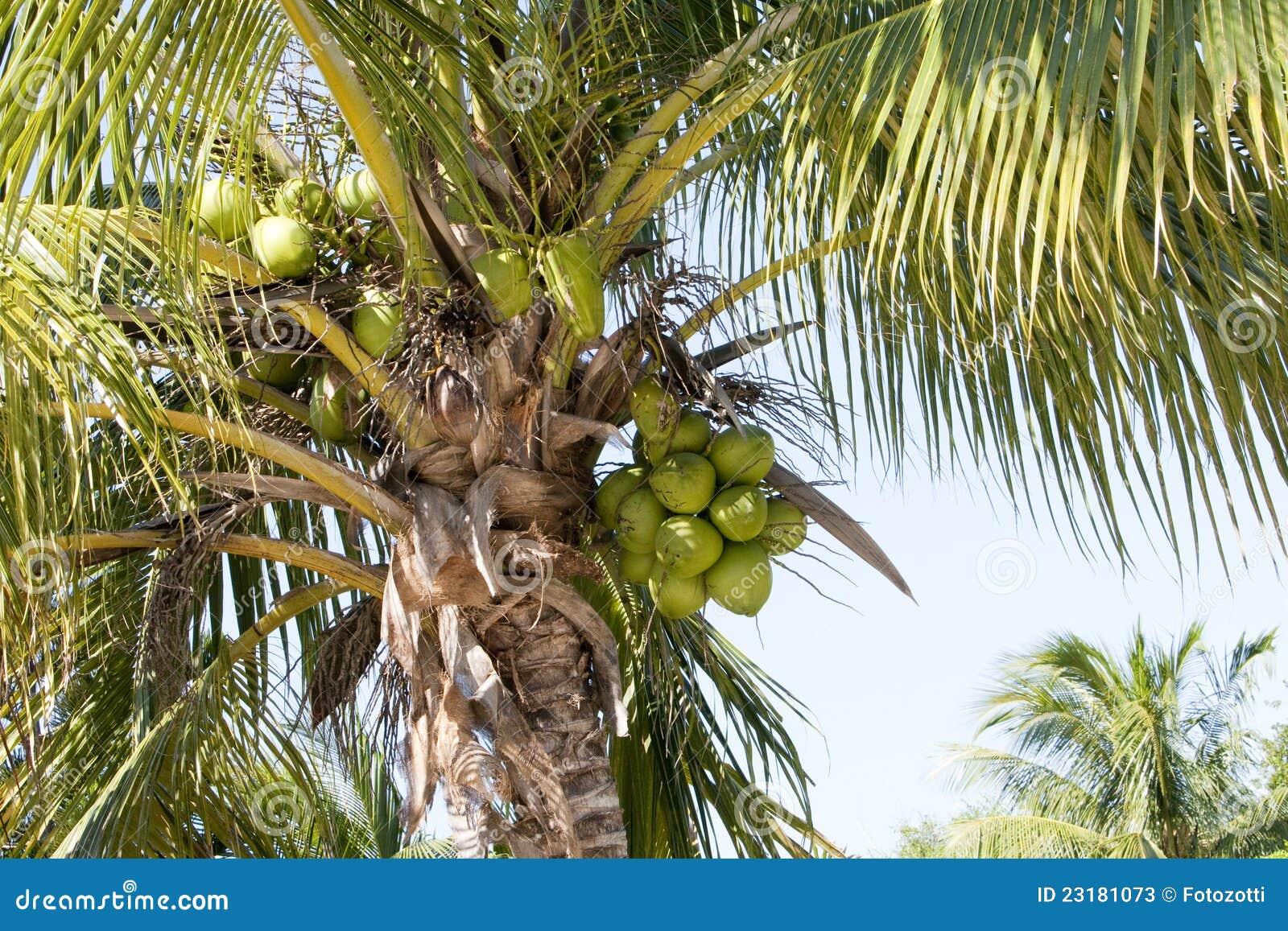 карибская пальма Кубы кокоса
