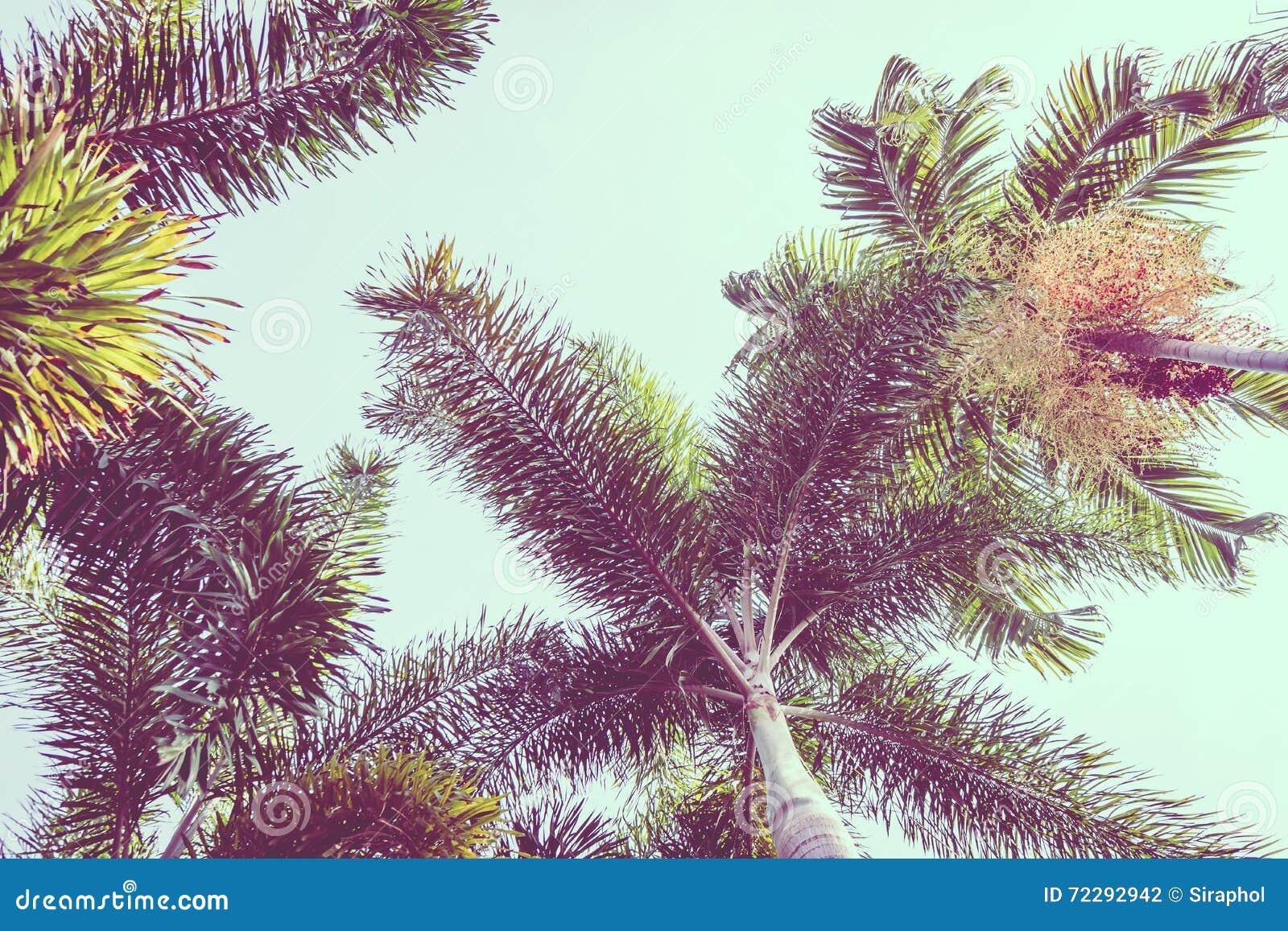 Download карибская пальма Кубы кокоса Стоковое Фото - изображение насчитывающей vintage, природа: 72292942