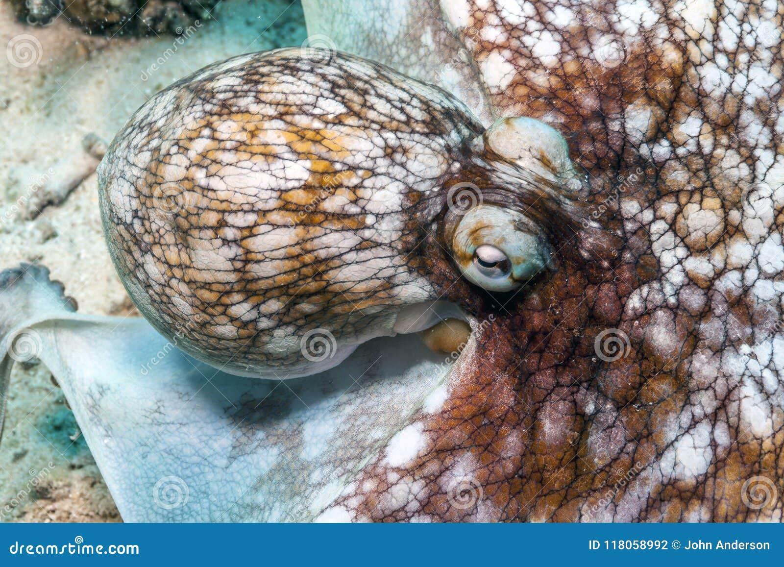 Карибский осьминог рифа, briareus осьминога