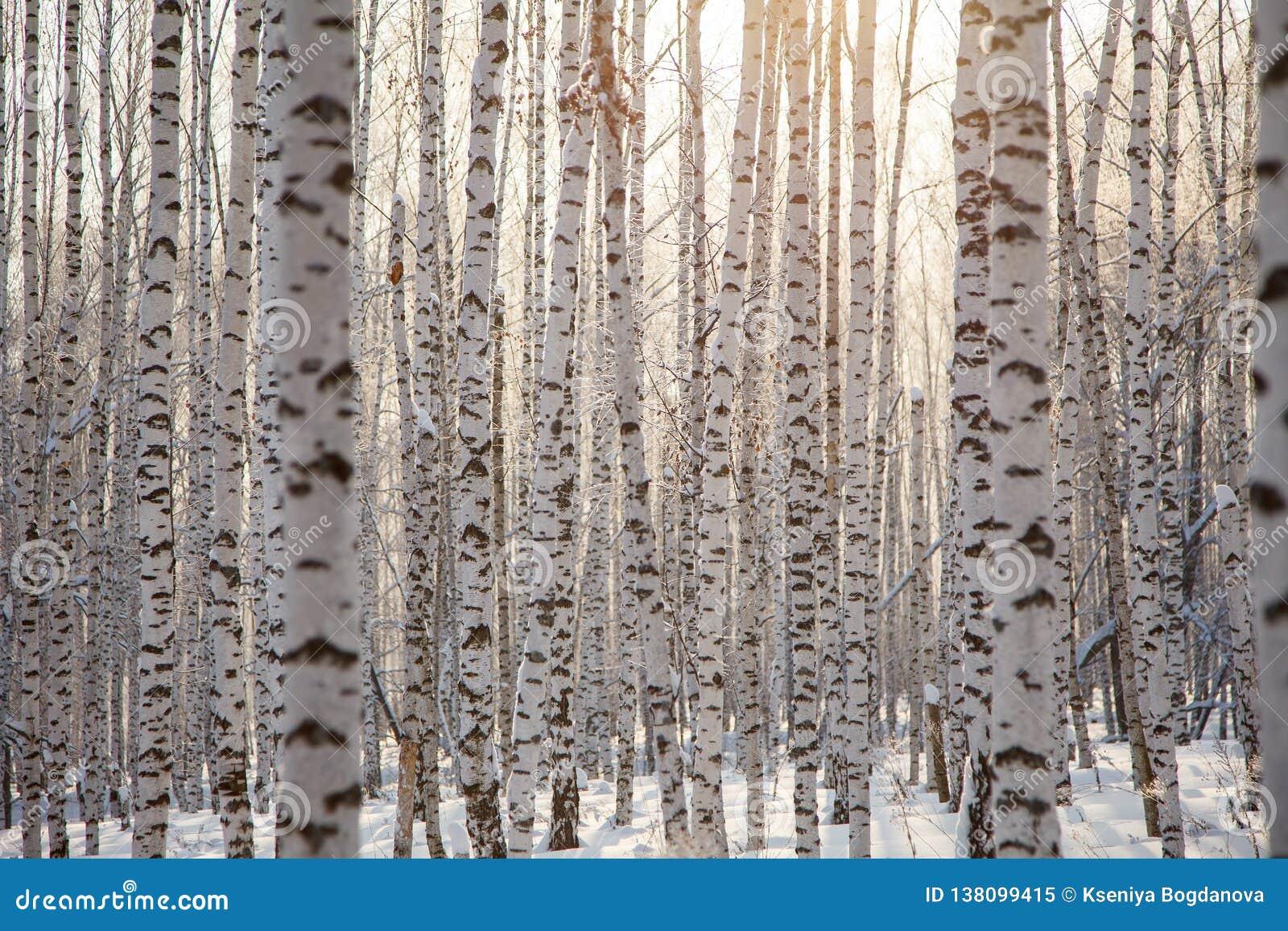 Картина/зима предпосылки много стволов дерева березы