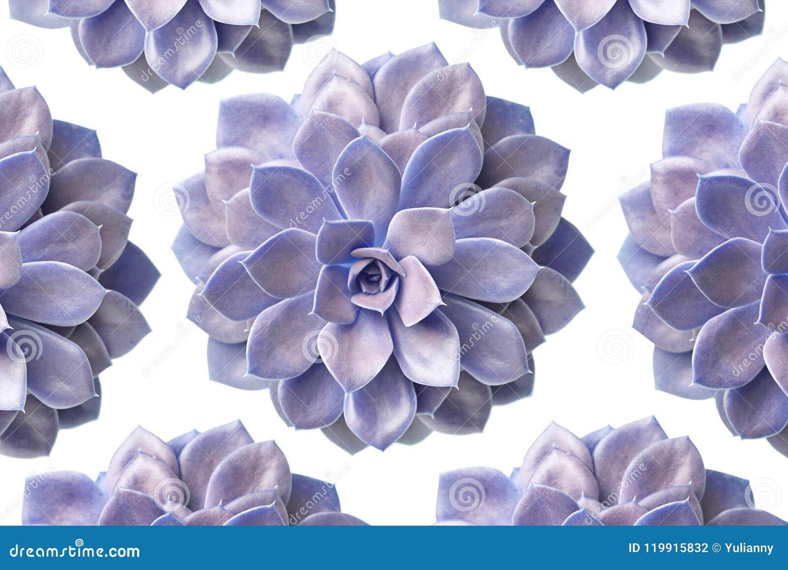 Картина фиолетового суккулентного завода изолированного на белизне