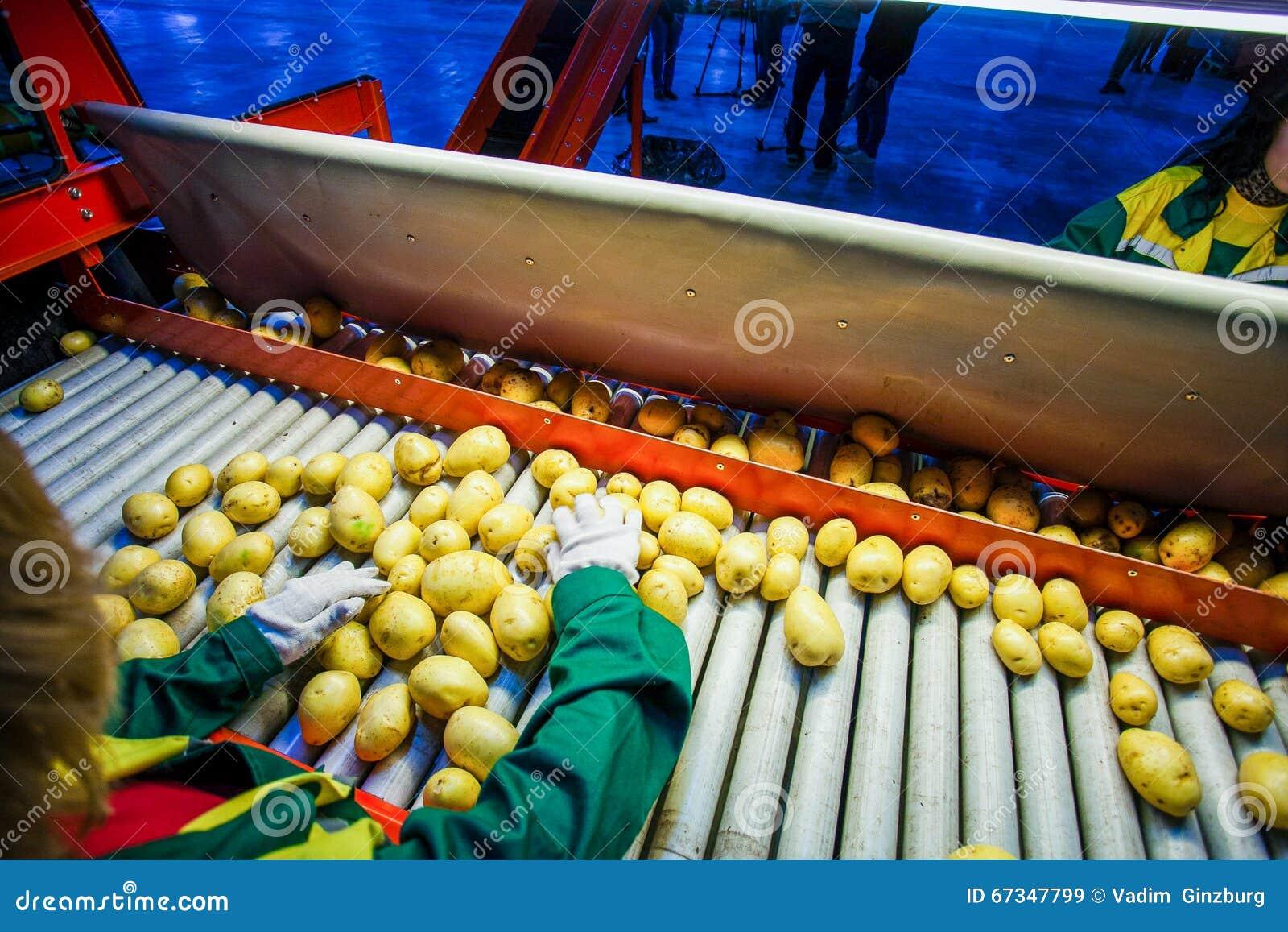 Картошка сортируя, фабрика обрабатывать и упаковки