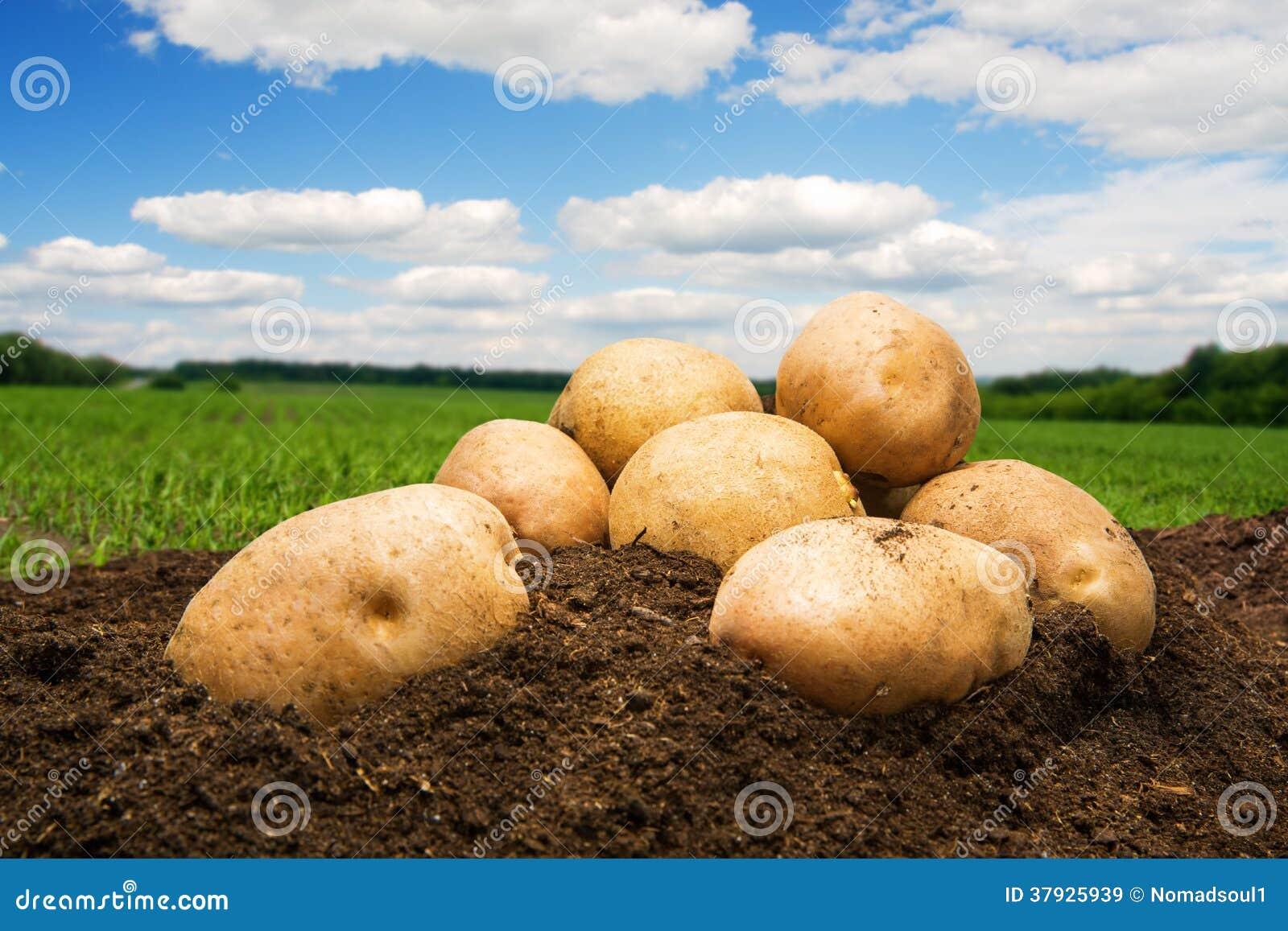 Картошки на том основании под небом