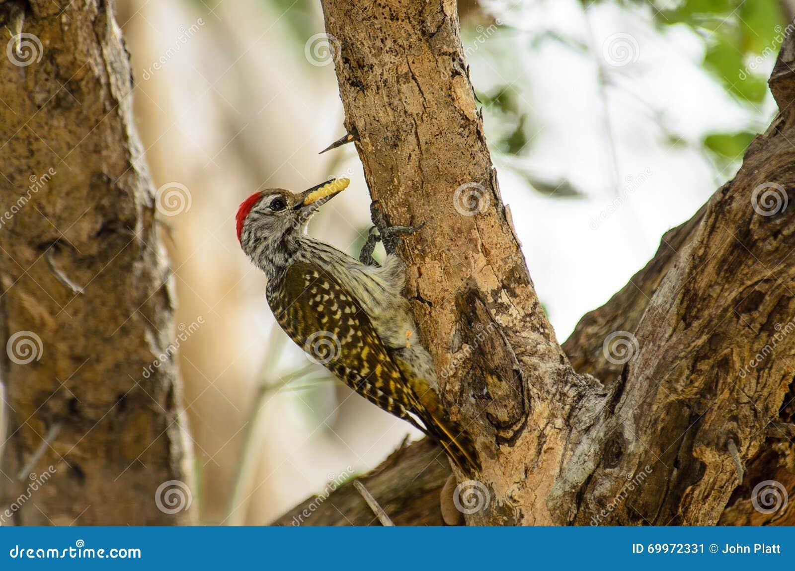 Кардинальный Woodpecker есть харч