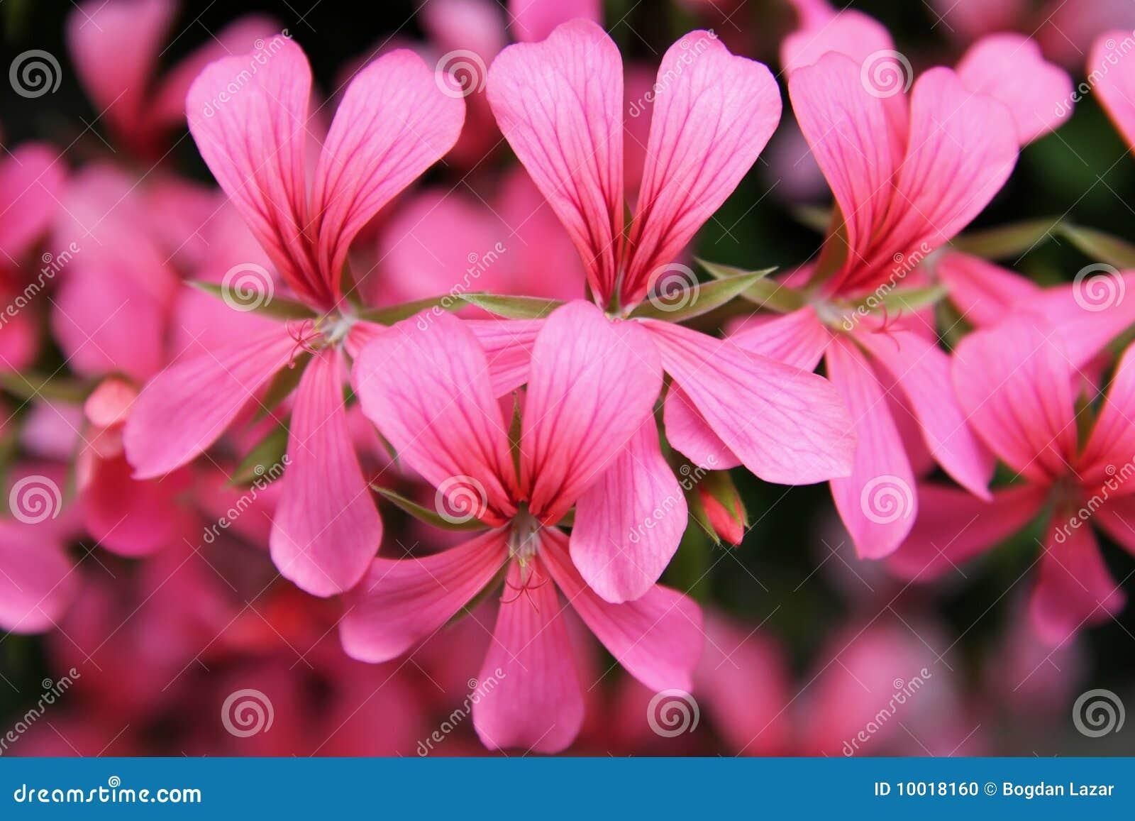 каскад цветет пинк гераниума