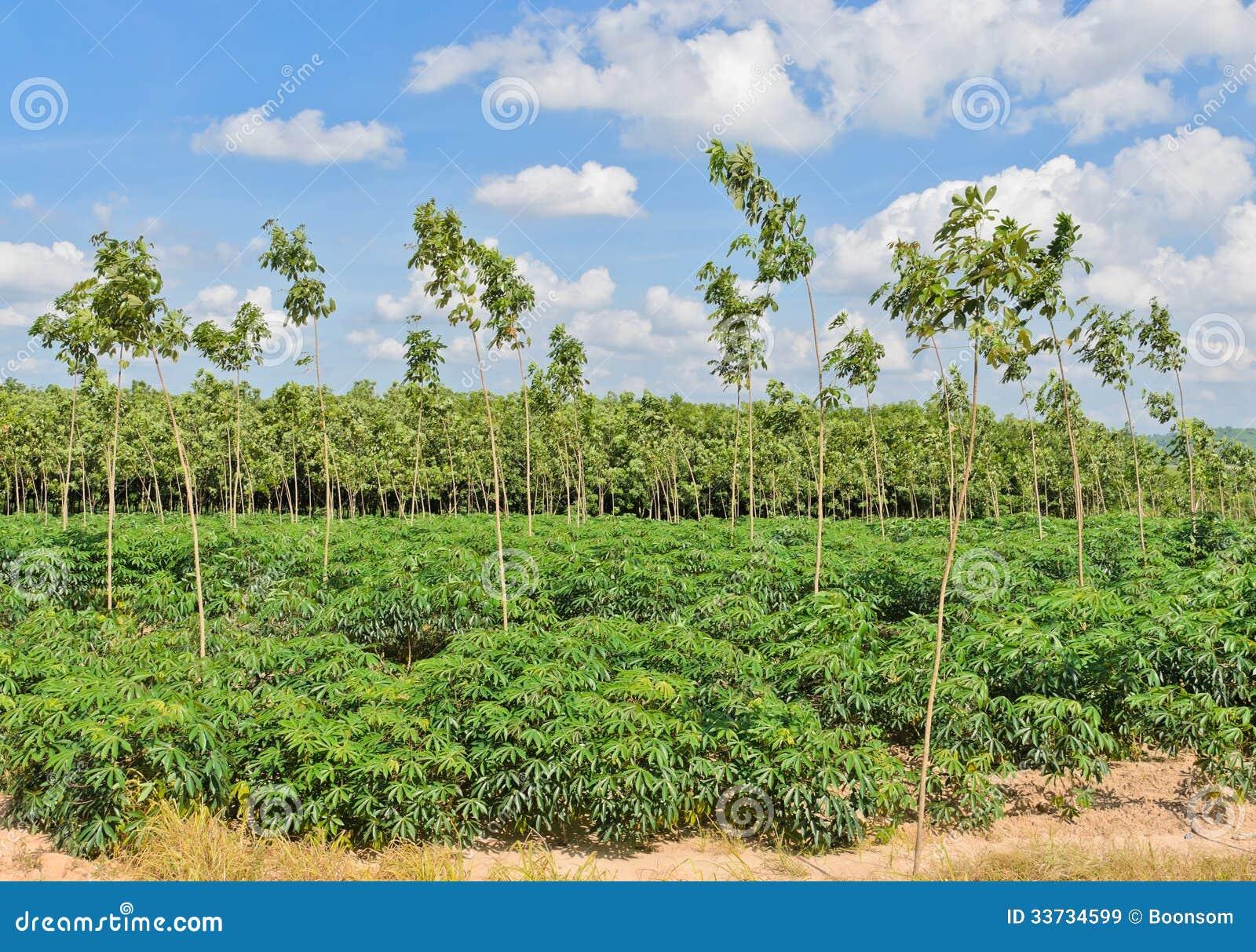 Кассава и резиновая плантация